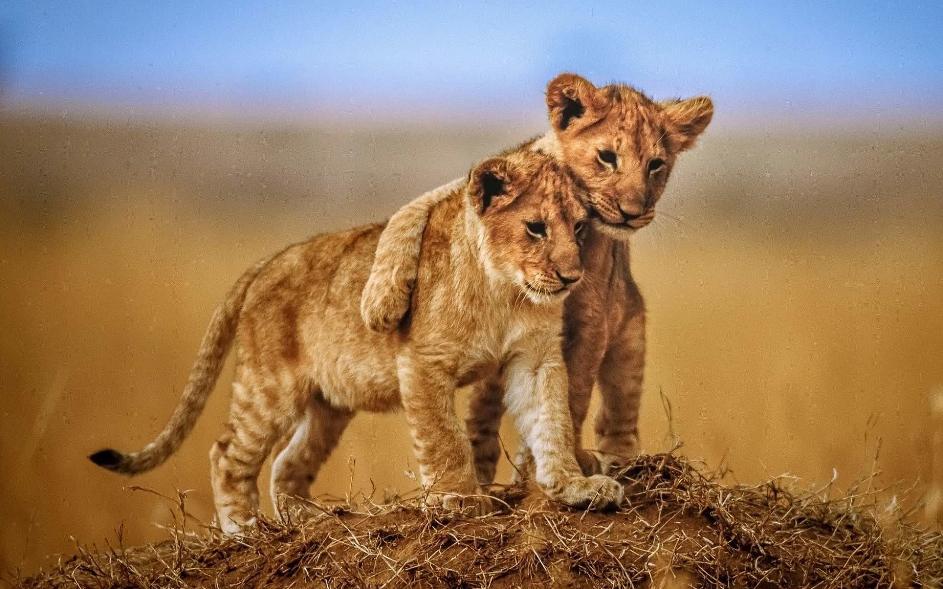 10 Top Cute Wild Animal Wallpaper Full Hd 1080p For Pc: Lion Wallpaper Desktop (68+ Images