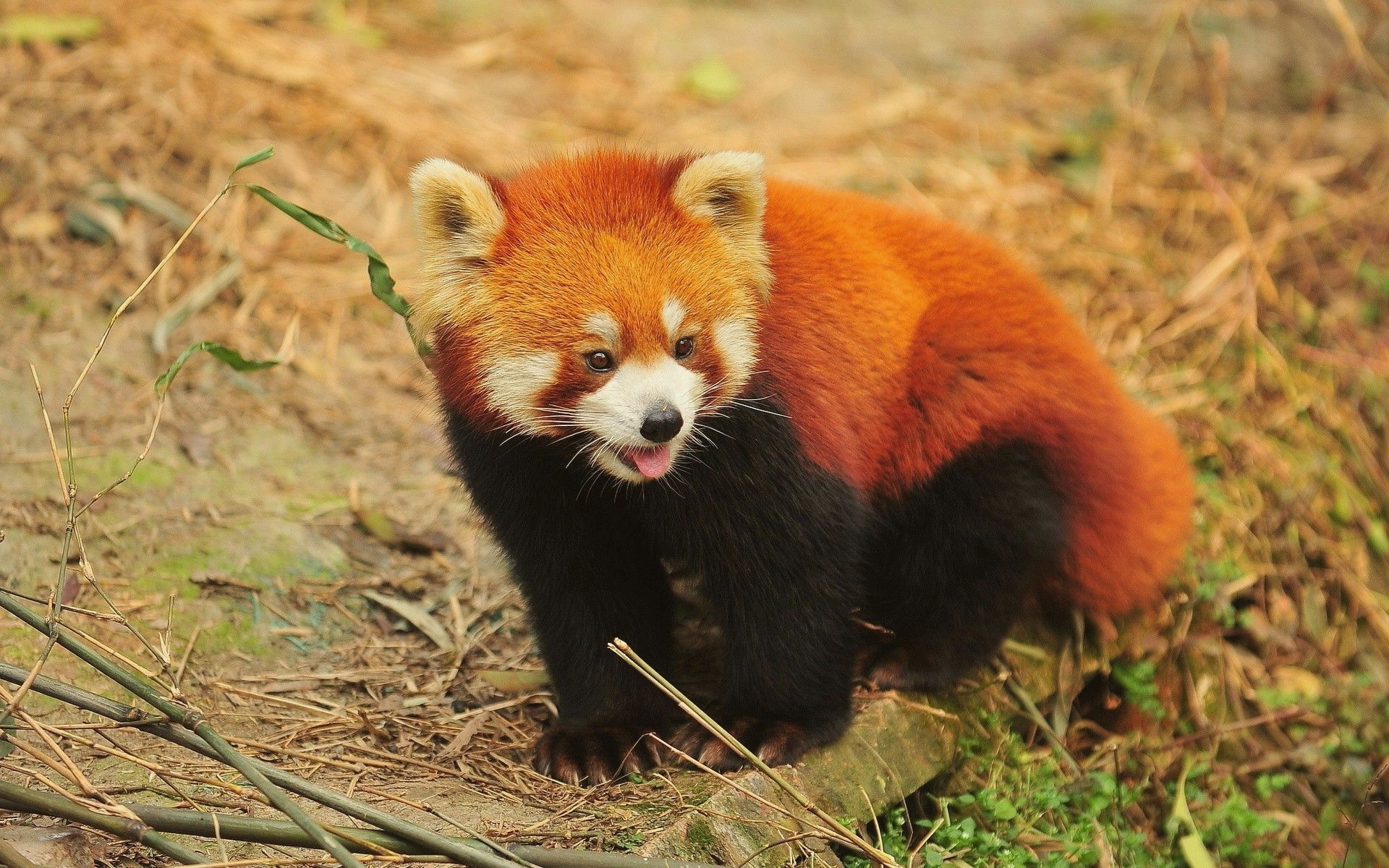 1920x1200 Red Panda wallpapers for android
