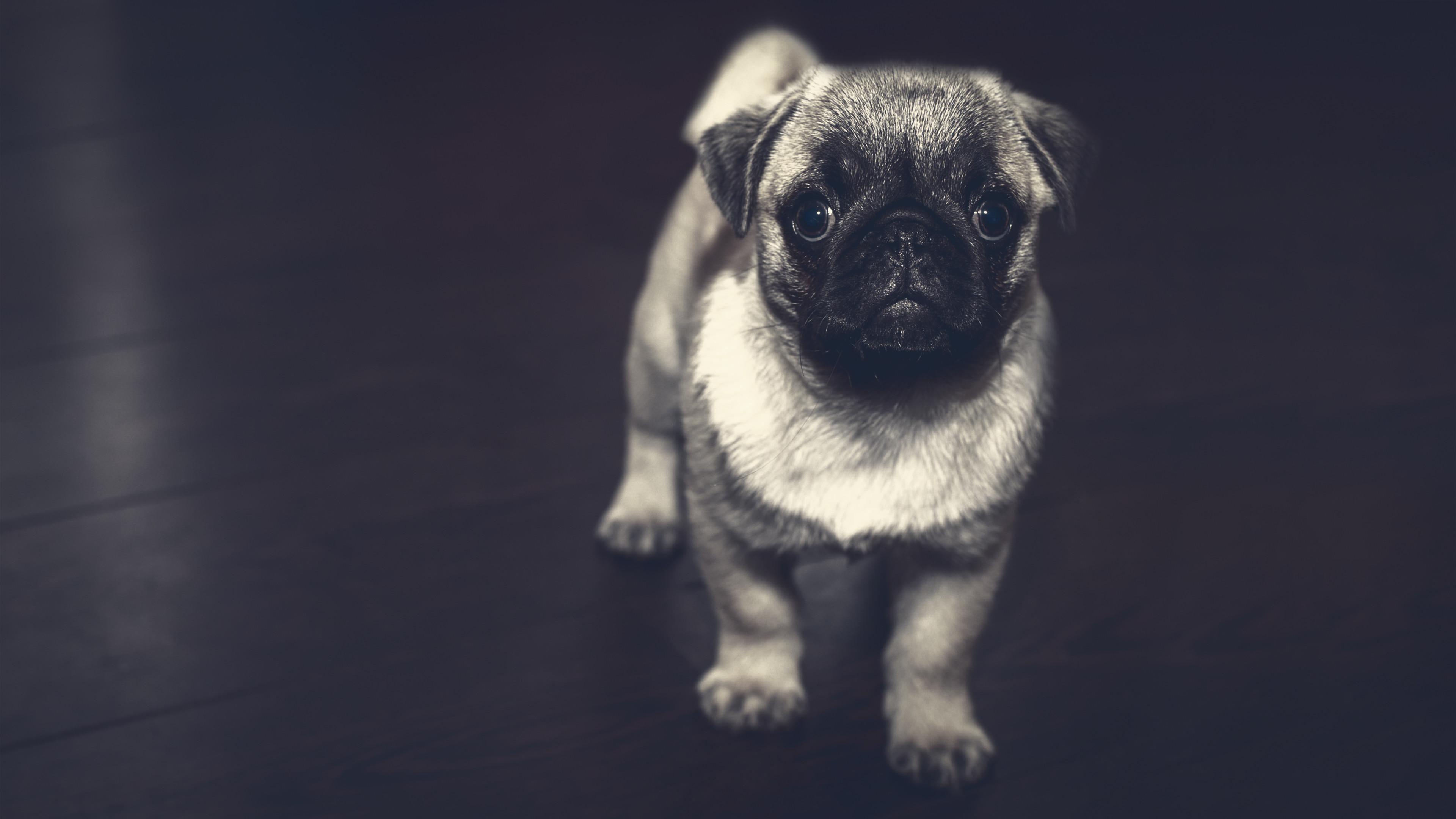 Pug Puppies Wallpaper 61 Images