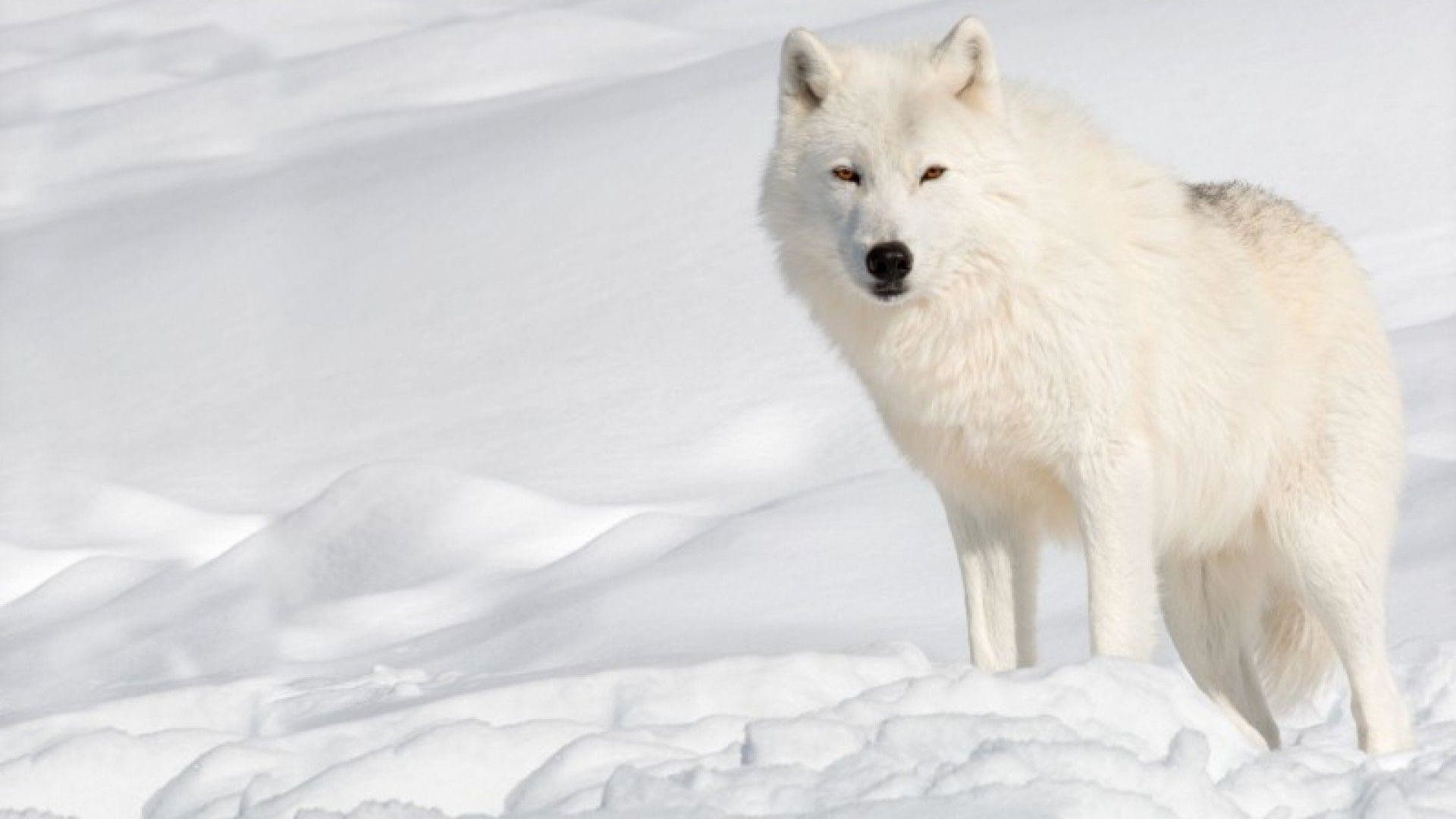 1920x1080 Wallpapers For > Arctic Wolf Wallpapers