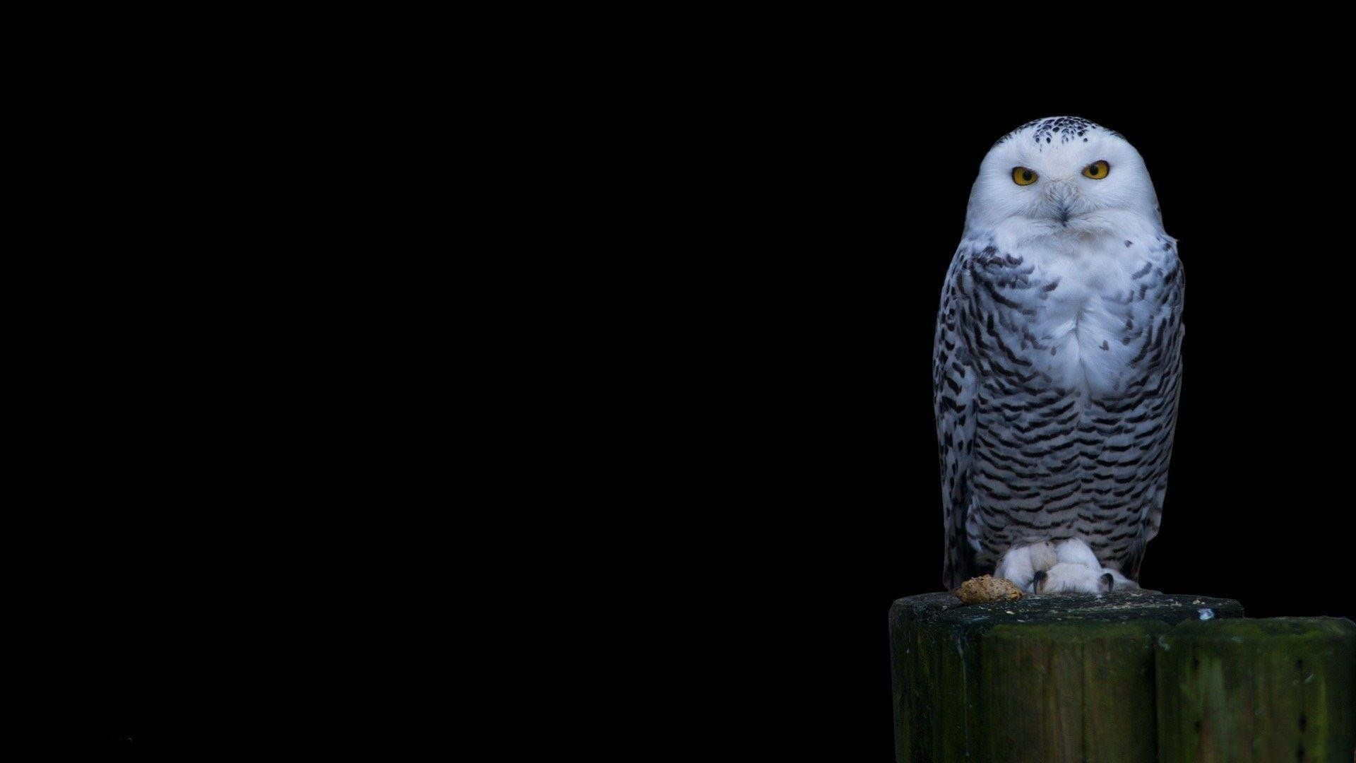 1920x1080 Snowy Owl Wallpaper Free Wallpapers Hd Desktop Backgrounds .