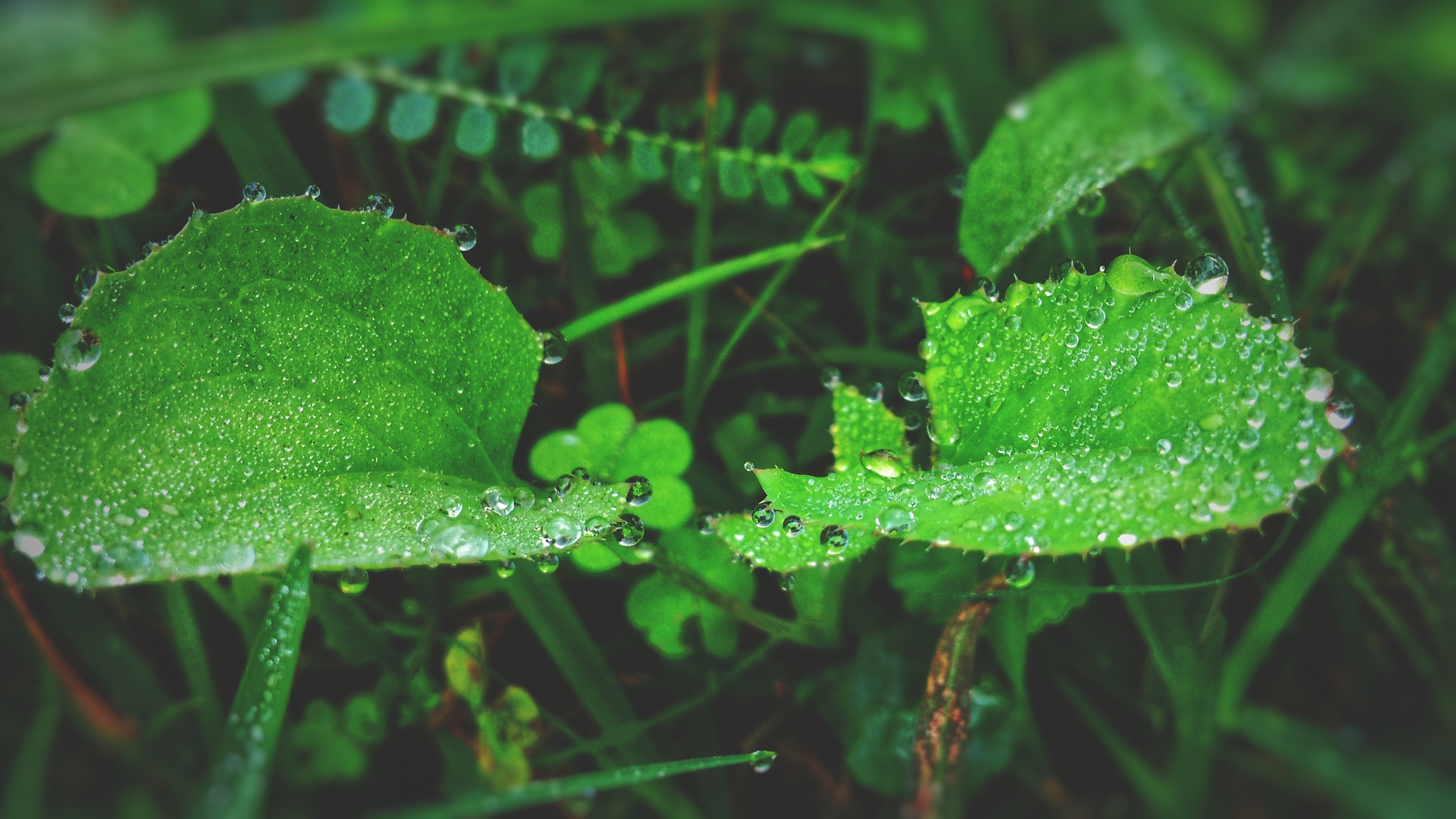 3840x2160 Green Leaf Plant With Raindrops