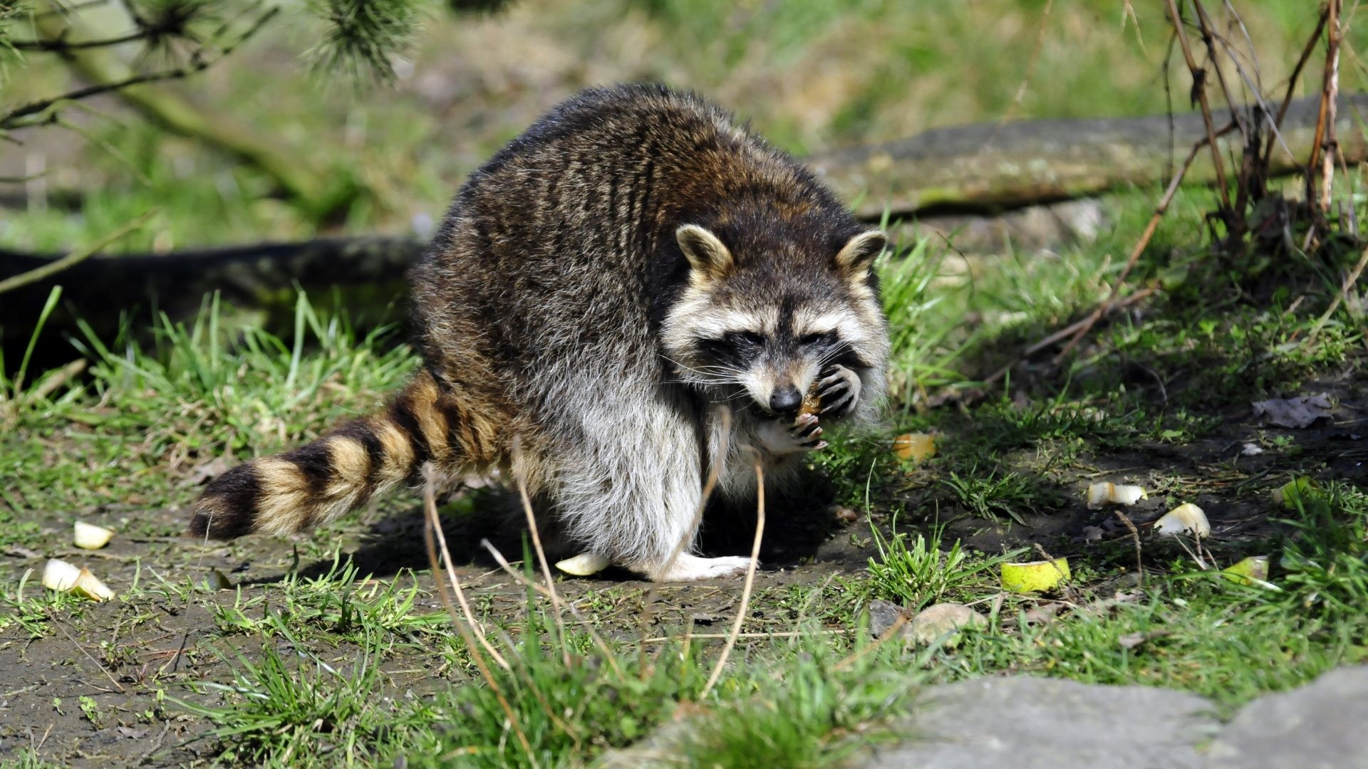 1920x1080 Raccoon Tag - Animals Grass Raccoon Free Download Desktop Animated for HD  16:9 High