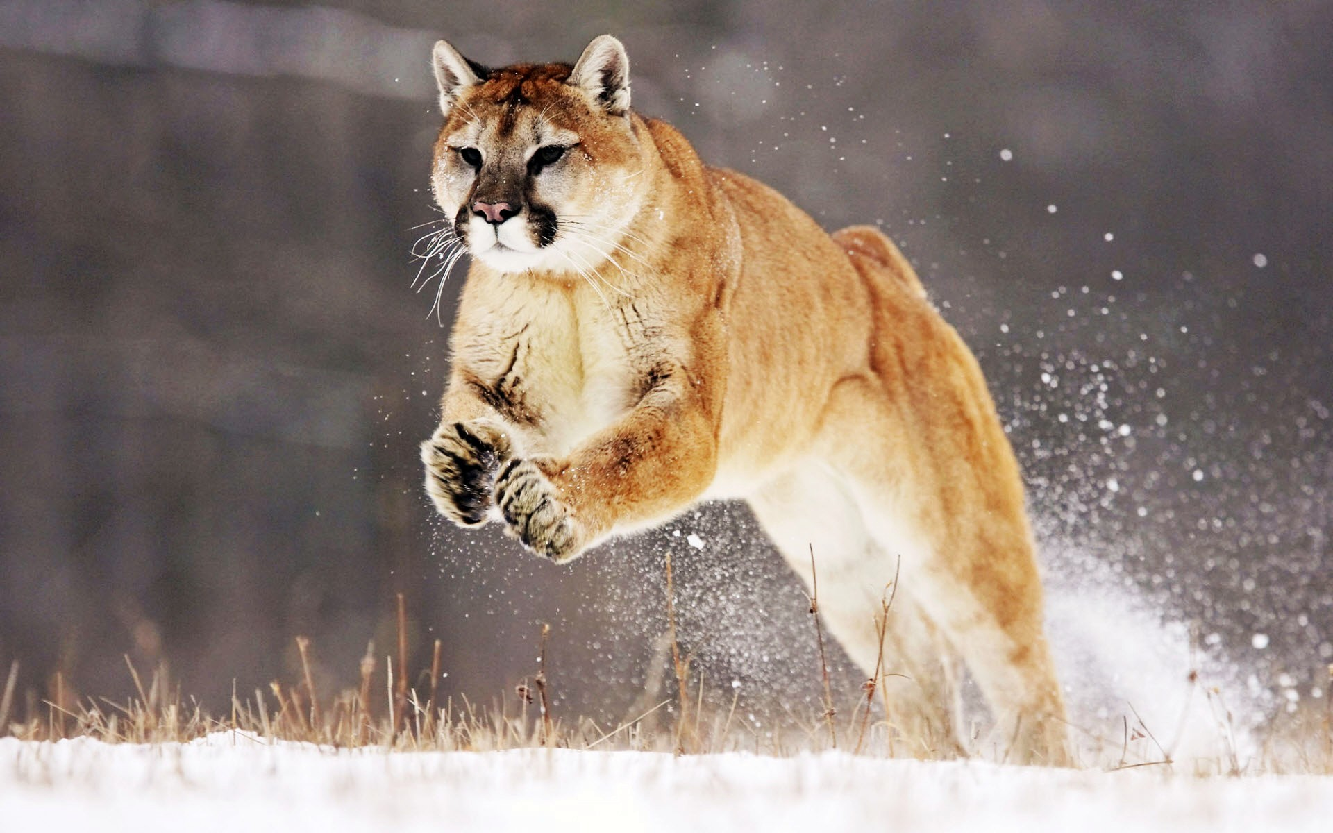 1920x1200 hunting images with mountain lion in background