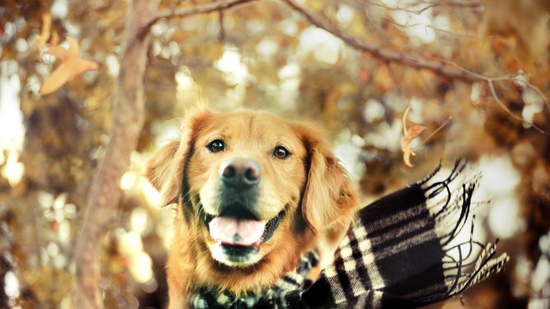 Cute golden retriever puppies wallpaper 56 images - Cute golden retriever wallpaper ...