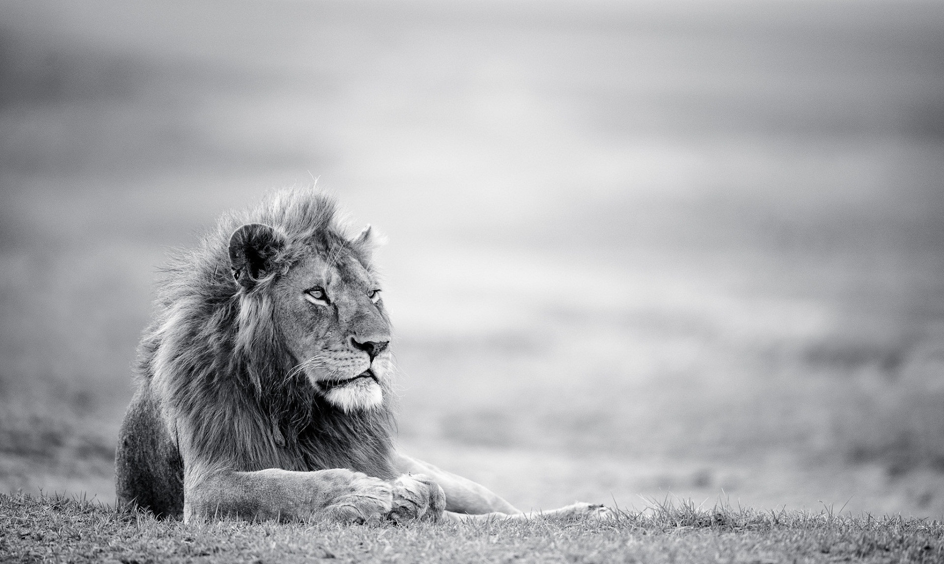 african white lion wallpaper (63+ images)