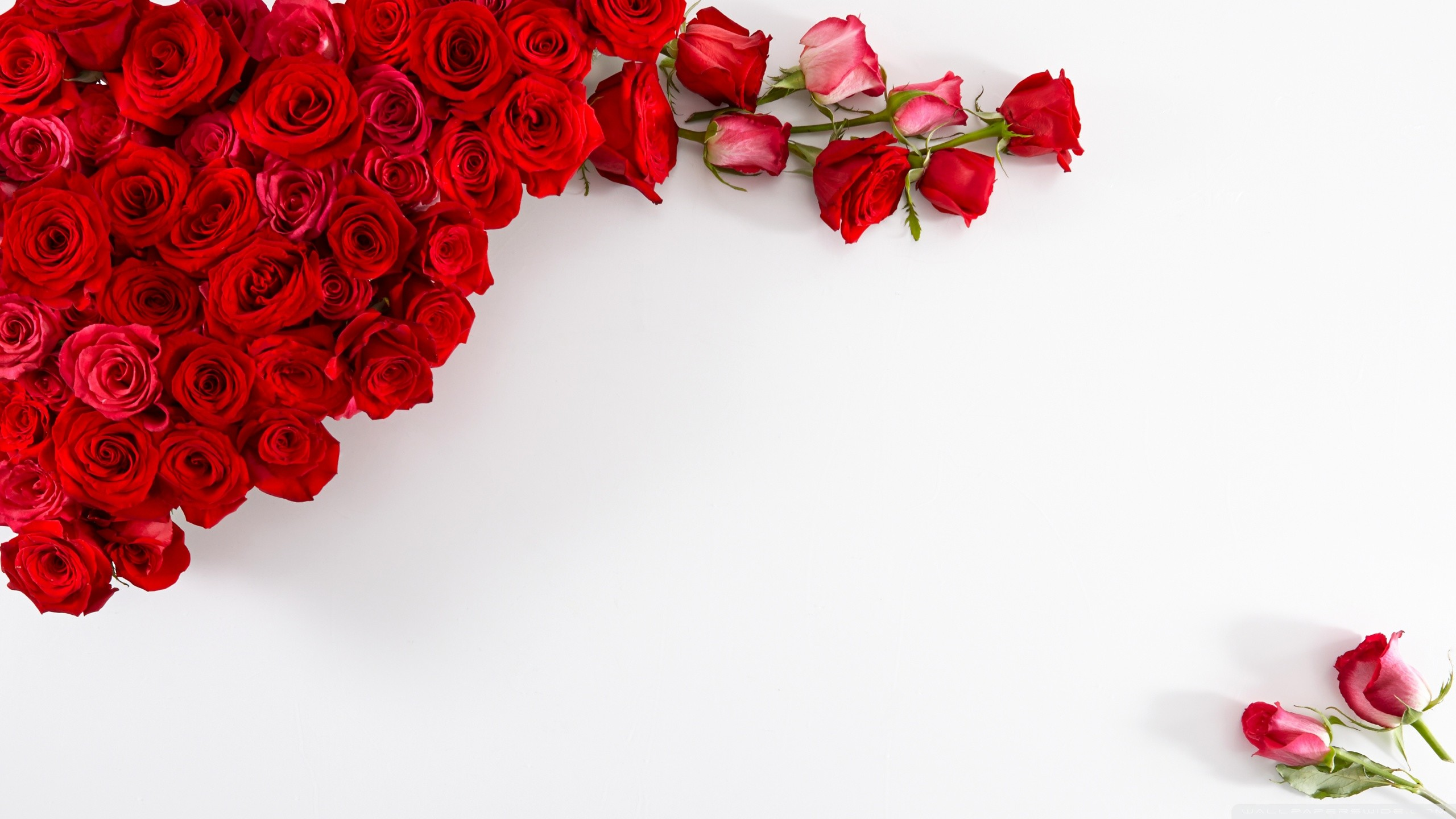 2560x1440 Red Roses on White Background HD desktop wallpaper : Widescreen