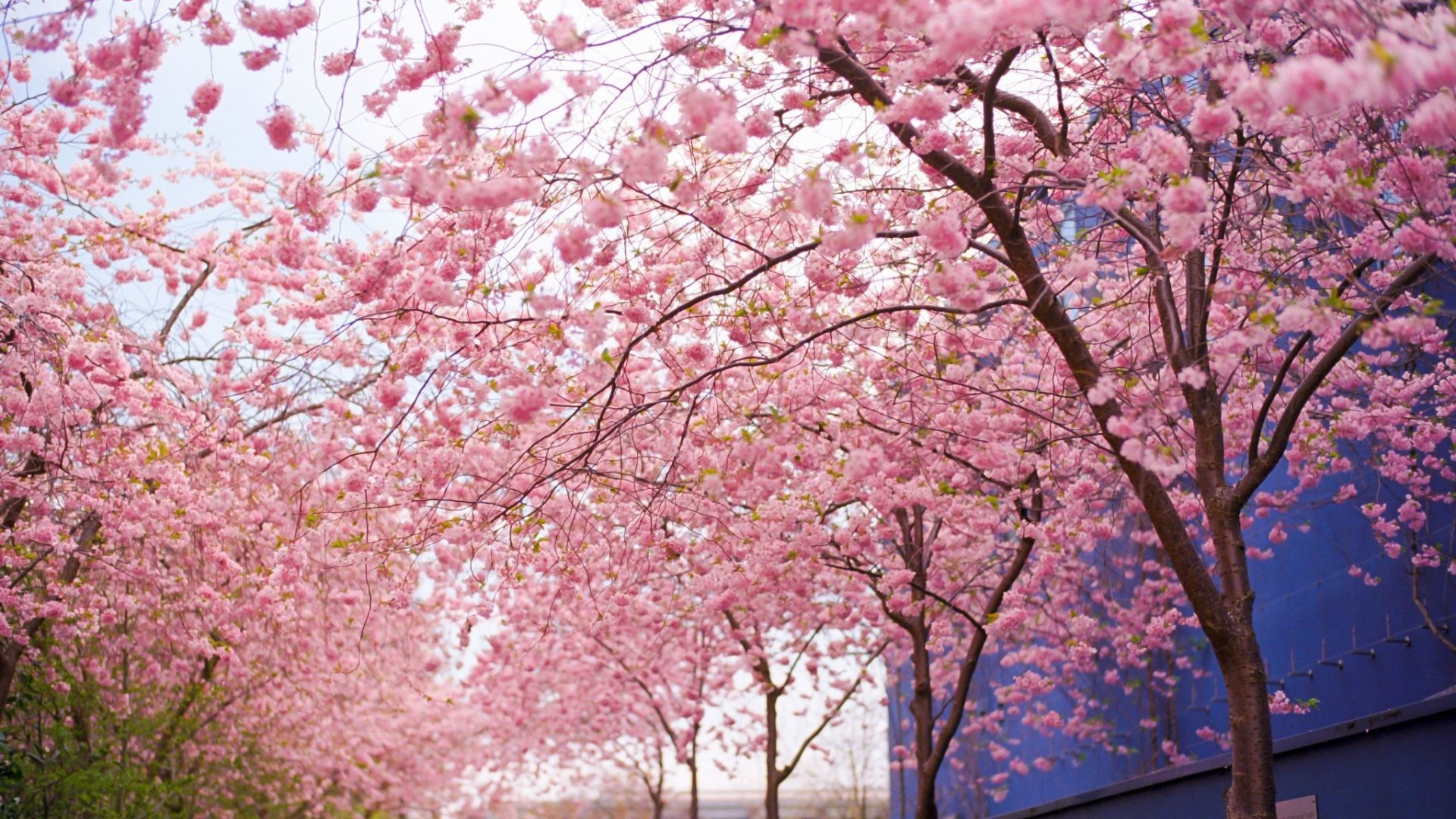 1920x1080 Cherry Tag - Cherry Pink Blooms Wood Branches Flowers Spring Blossoms  Nature Wallpaper Download For Mobile