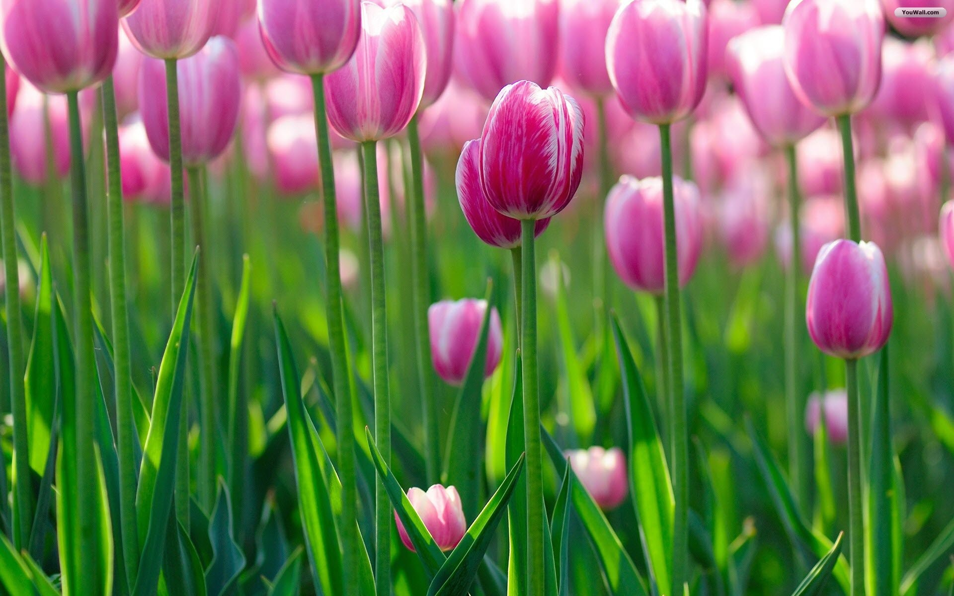 1920x1200 Red Tulips Wallpaper