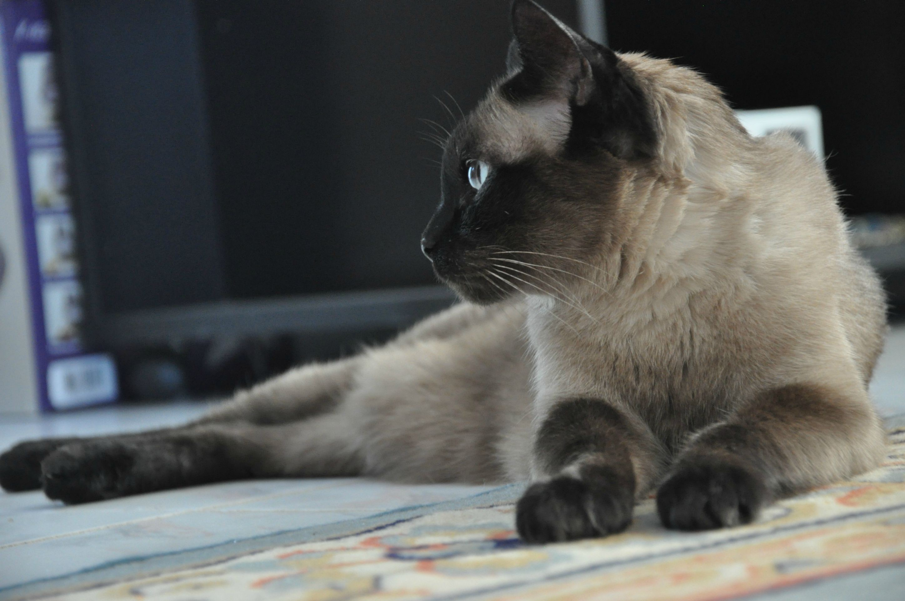 2894x1922 Adult Siamese cat resting wallpapers and images - wallpapers, pictures,  photos