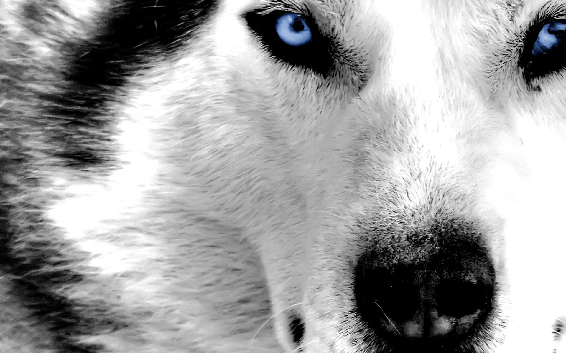 1920x1200 Really cool wolf pictures wallpaper