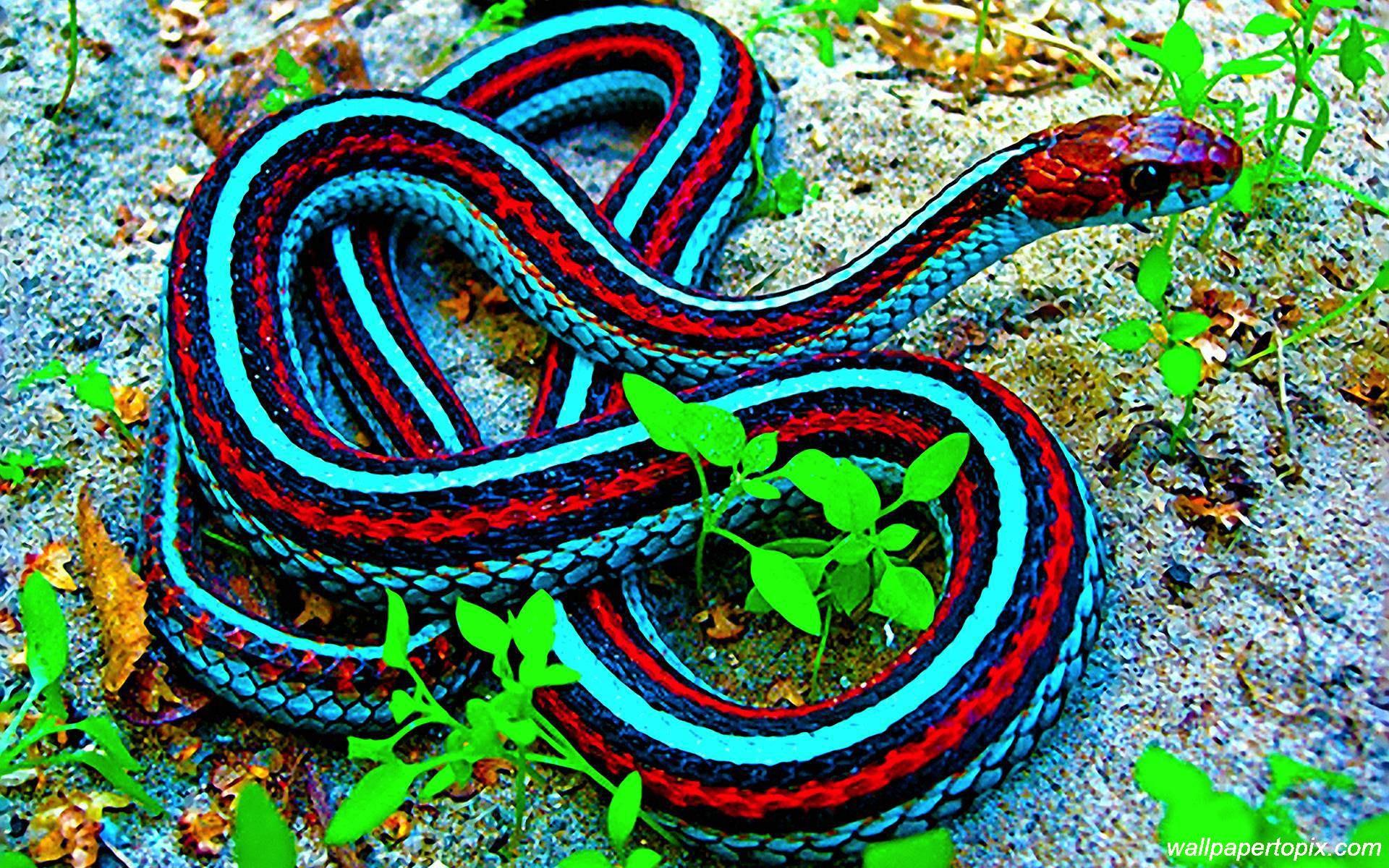 King Cobra Snake Photos: Indian King Cobra Snake Wallpaper (50+ Images