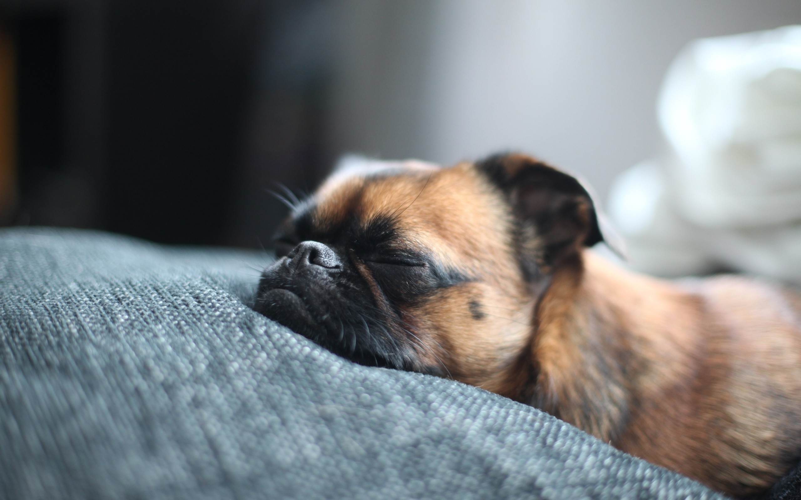 2560x1600 ... Next: Brown Pug Sleeping. Category: Animals wallpapers