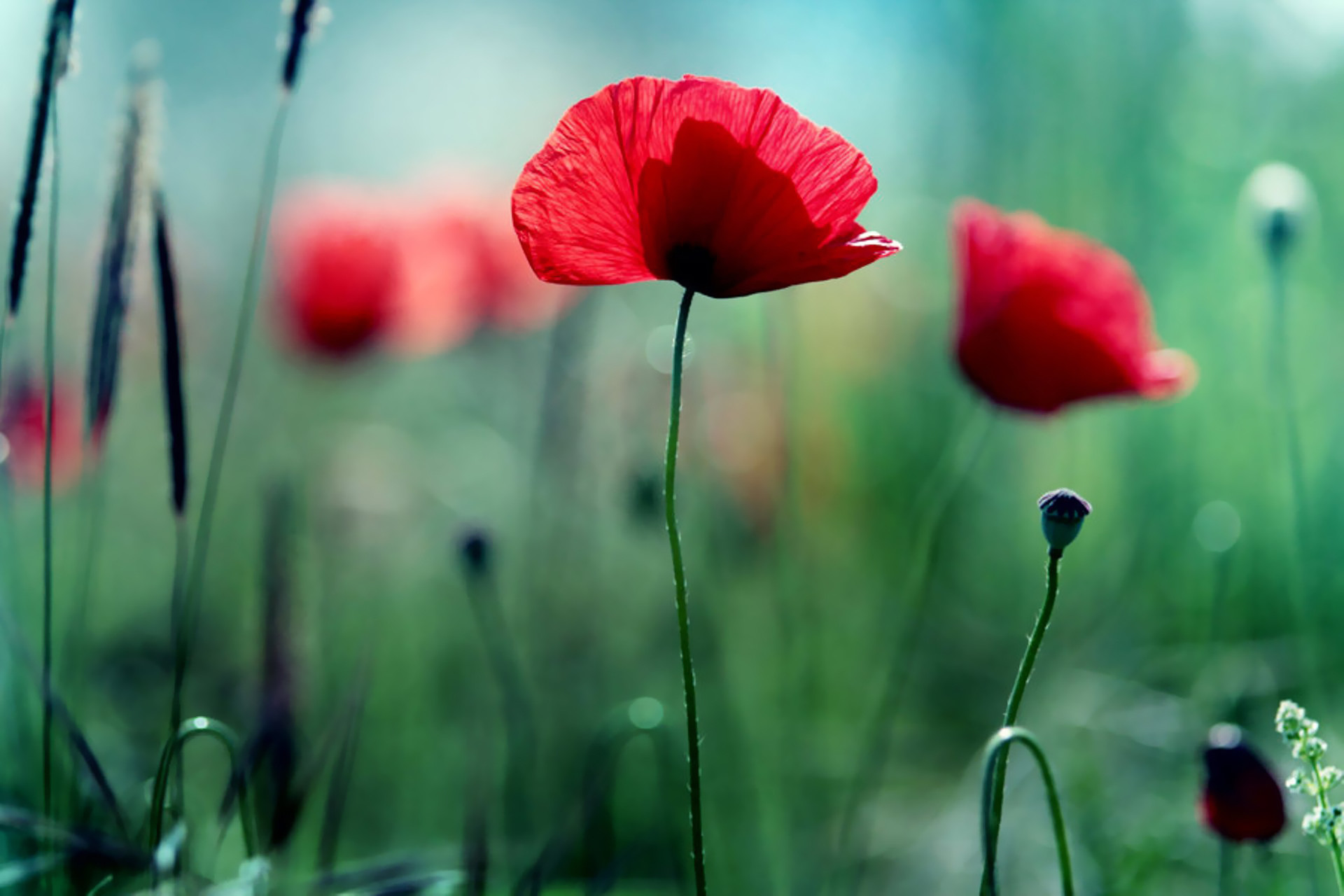 1920x1280 poppies wallpaper poppy green HD Desktop Wallpapers
