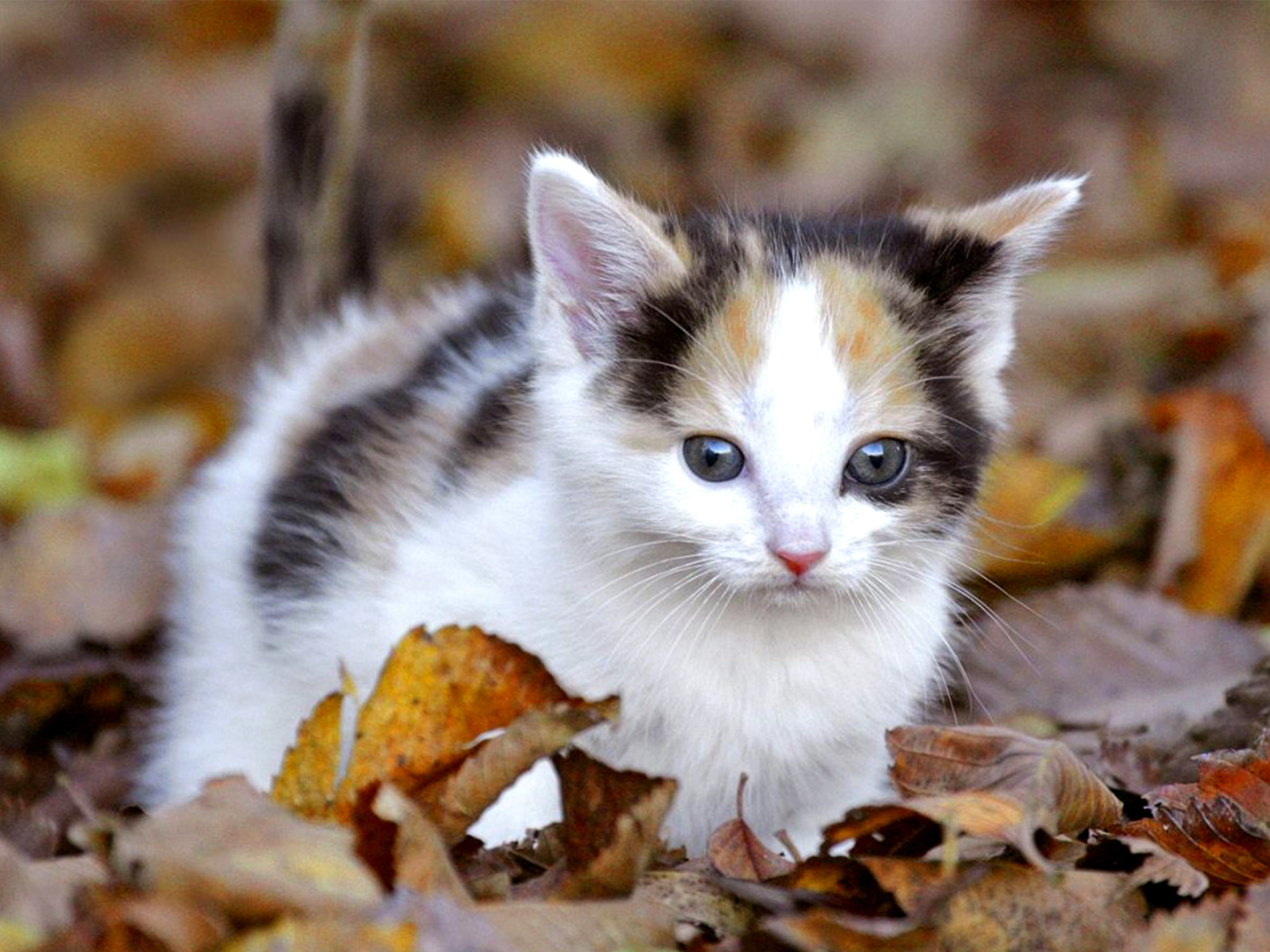 Cat wallpaper and screensavers 63 images - Kitten backgrounds ...