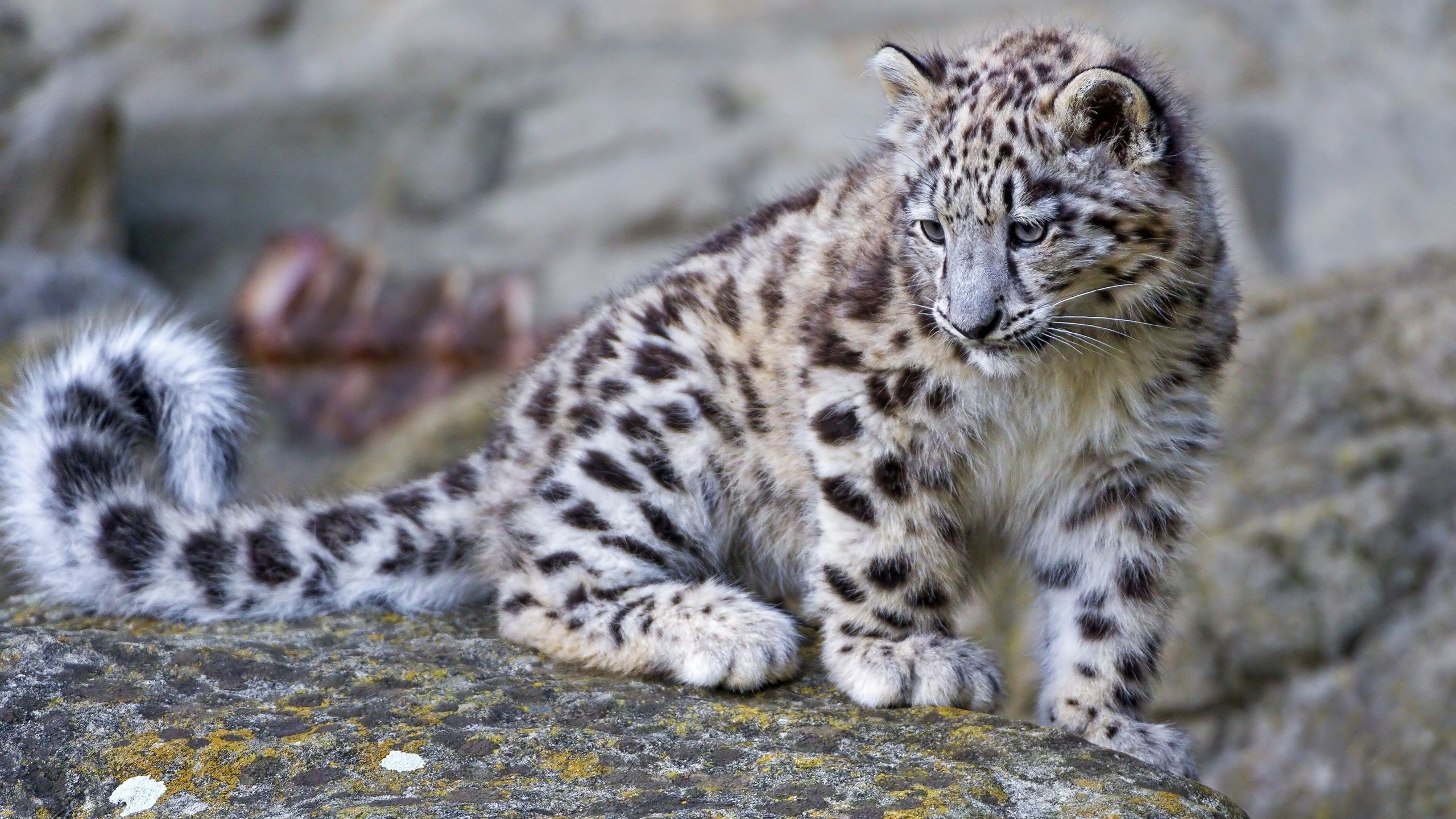 Simple Wallpaper Mac Snow Leopard - 1133685-full-size-mac-os-x-snow-leopard-wallpaper-hd-2560x1440  2018_475474.jpg