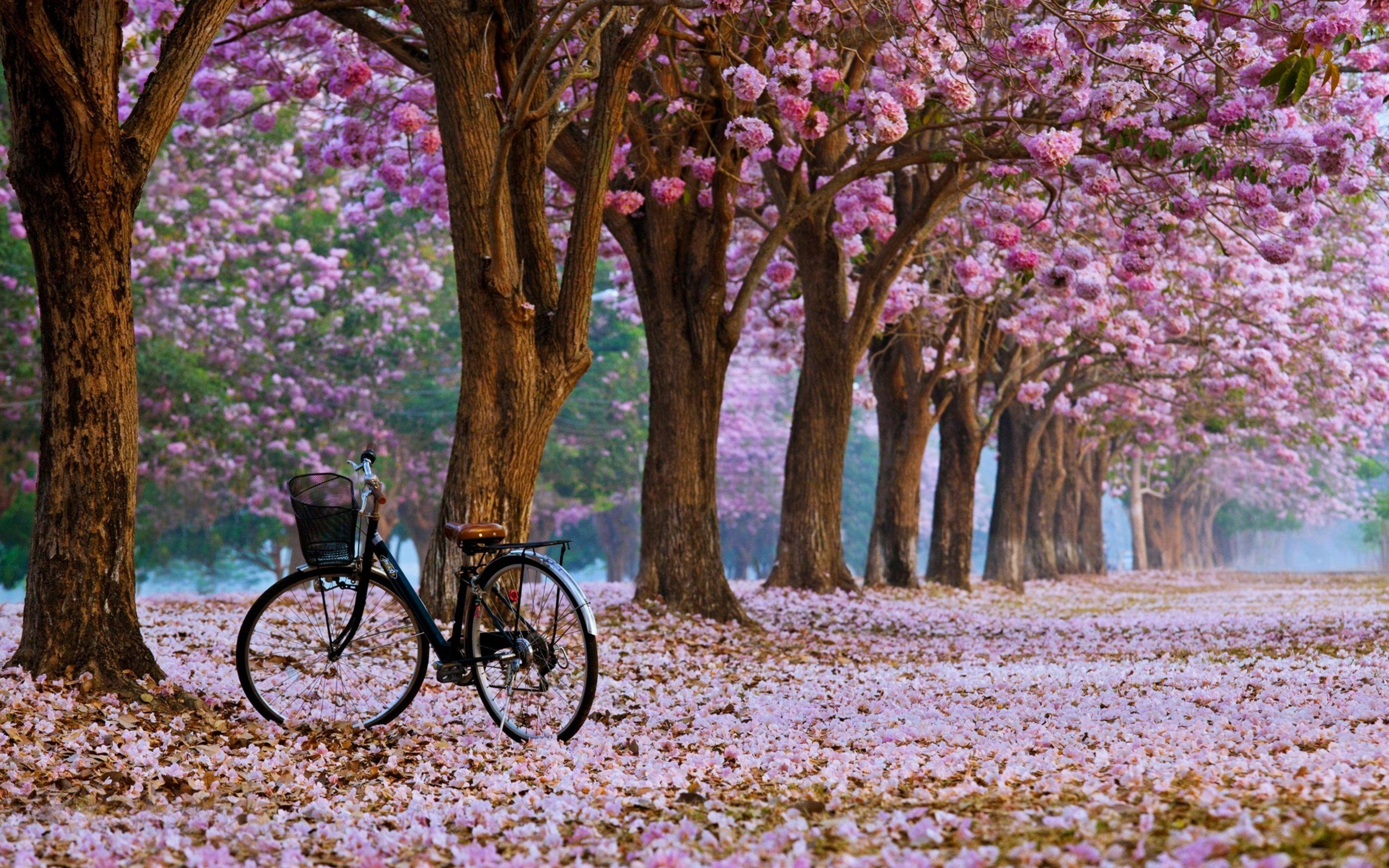 2560x1600 wallpaper.wiki-Spring-blossom-cherry-flower-background-PIC-