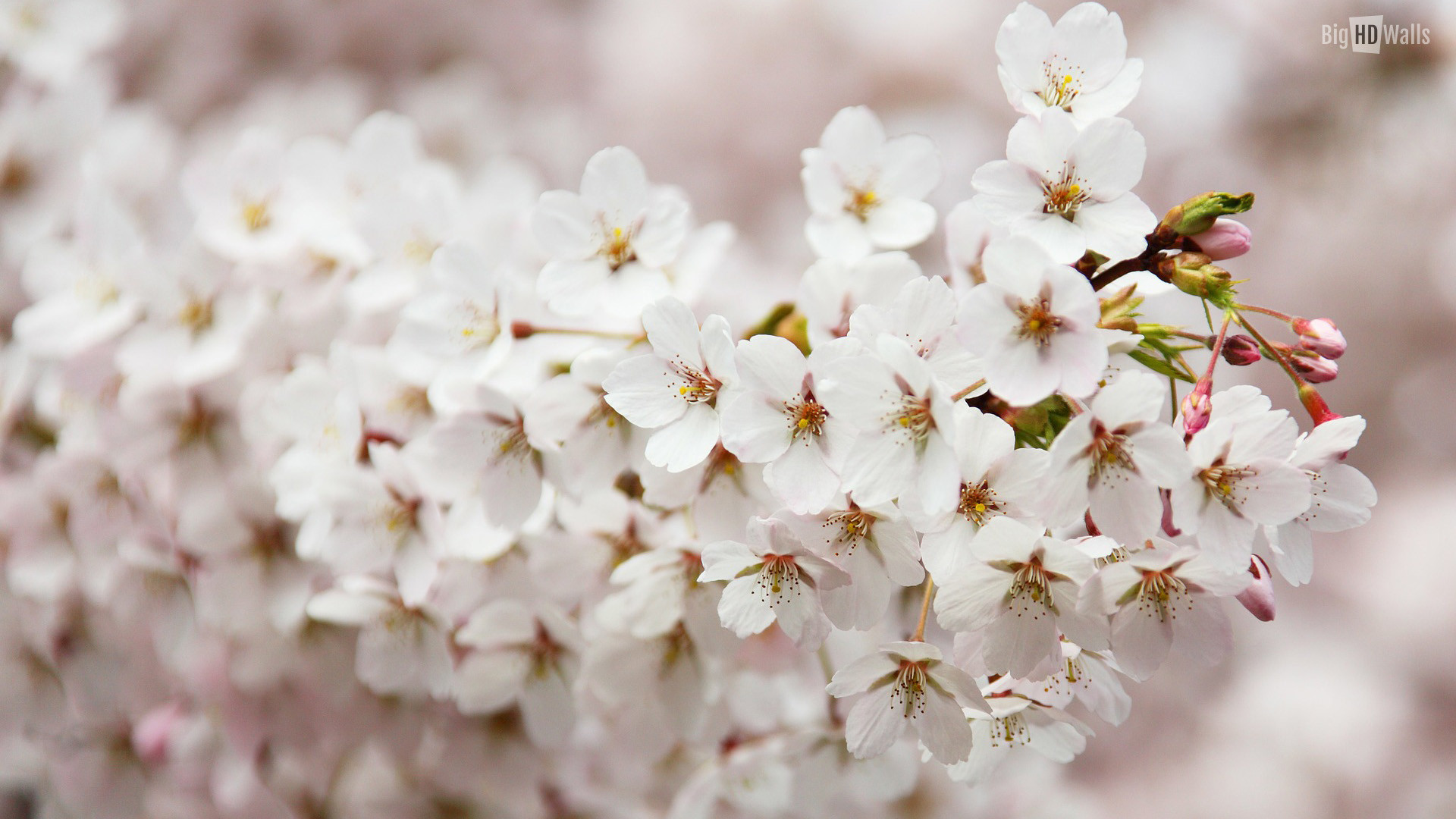 1920x1080 beautiful-spring-flower-background