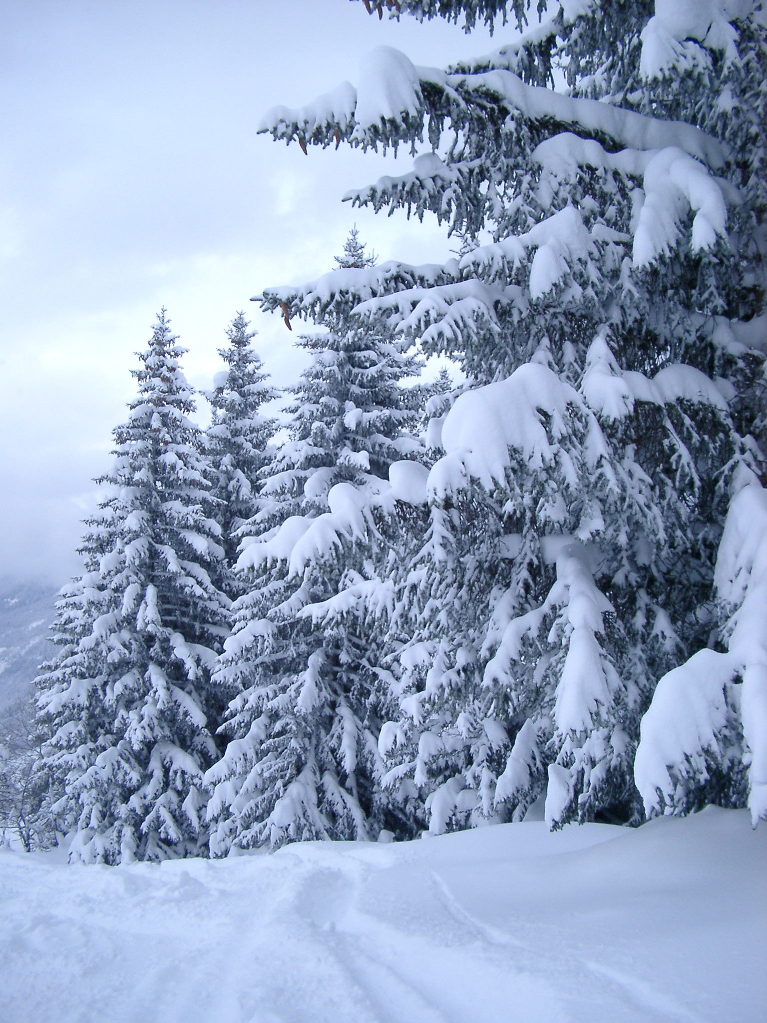 1536x2048 a row of alpine trees covered in a deep fall of snow