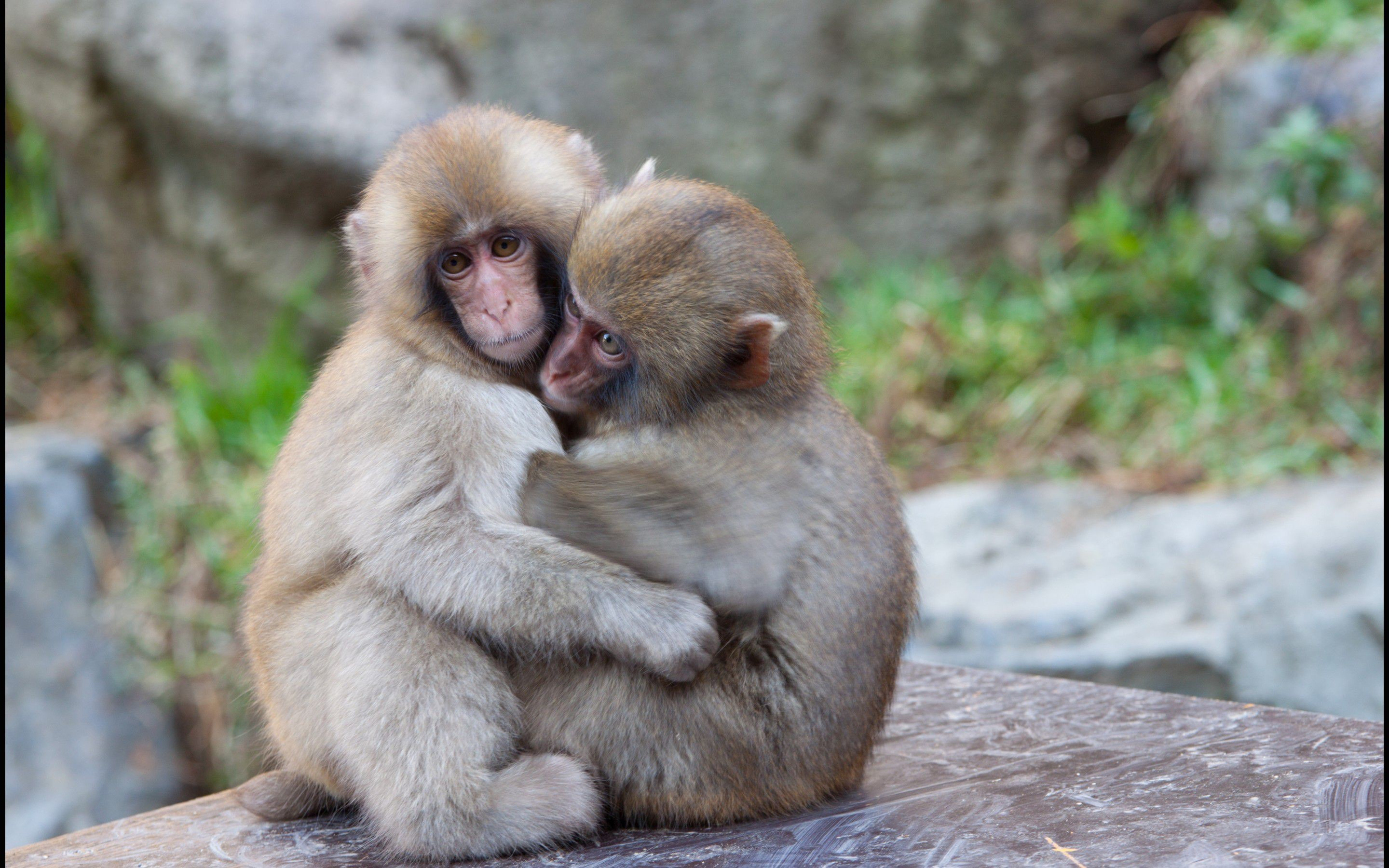 2560x1600 Wallpapers For Funny Baby Monkey Wallpaper
