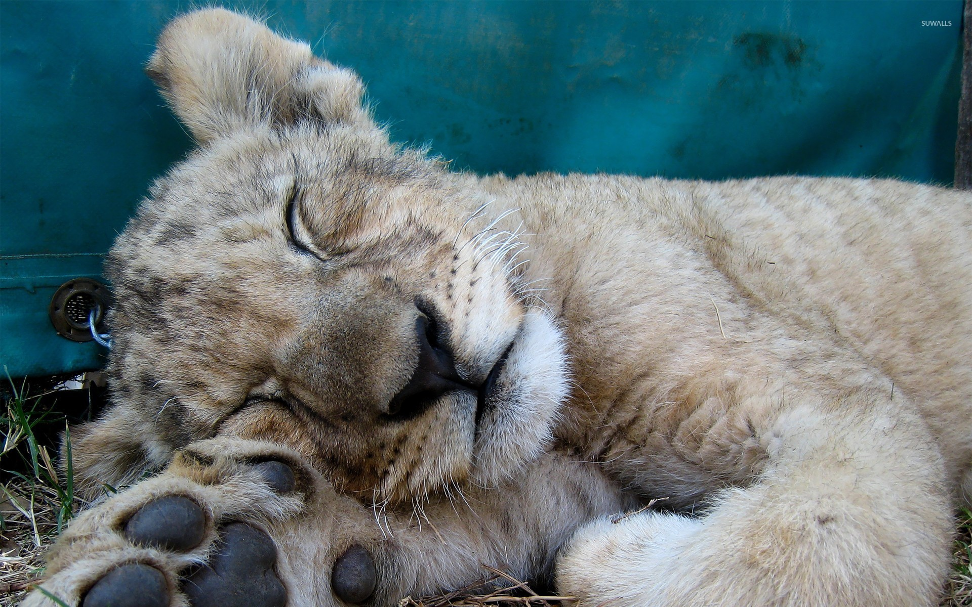 1920x1200 Sleeping lion cub wallpaper