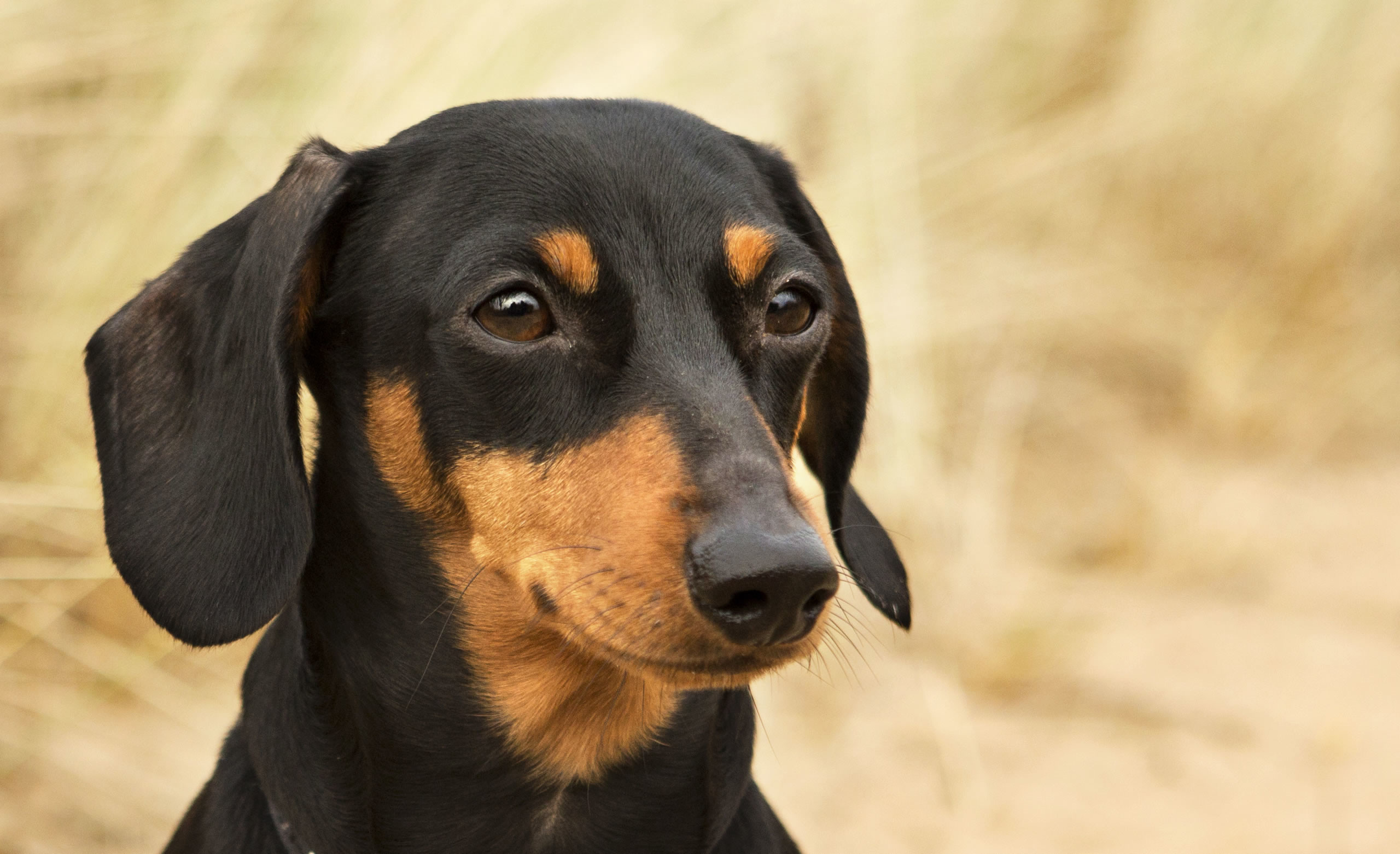 2560x1562 Miniature black and tan Dachshund