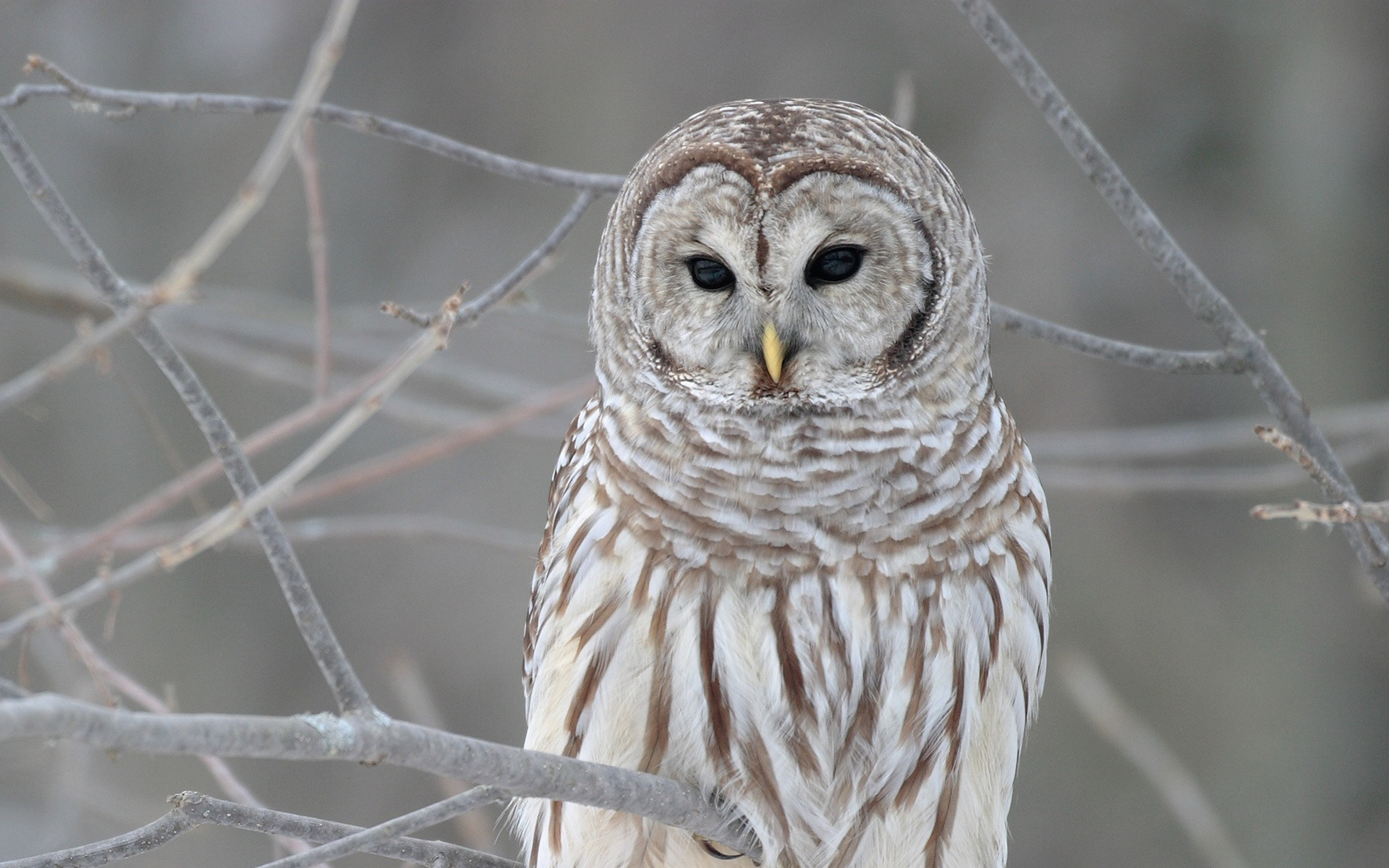 1920x1200 white owl wallpapers for desktop background images mac pictures 1920×1200  Wallpaper HD