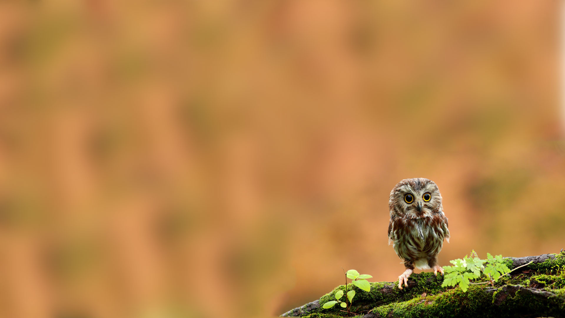 1920x1080 Cute-Owlet-full-hd-wallpaper-download