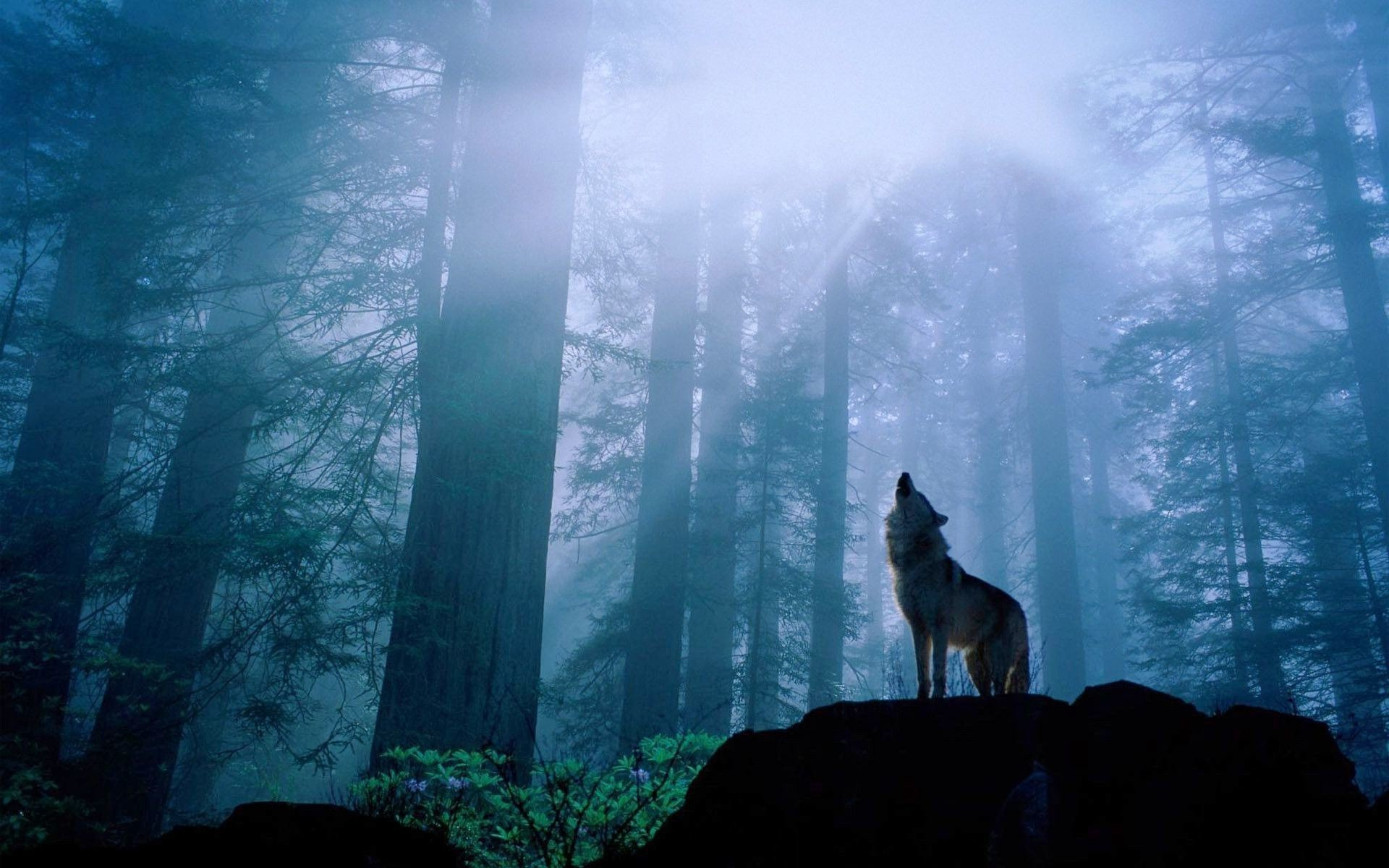 1920x1200 Black Wolf Howling Wallpaper Phone As Wallpaper HD