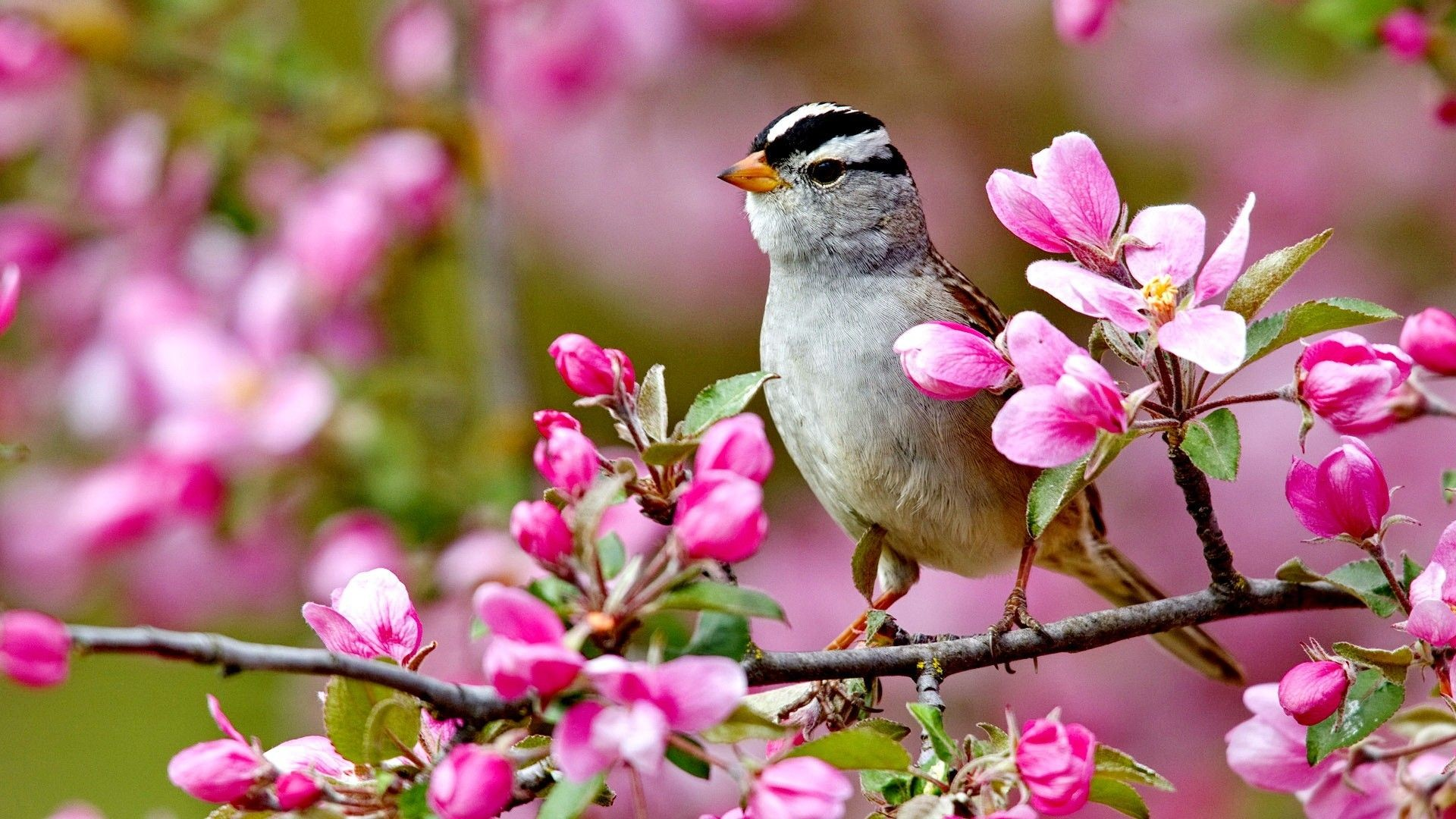 1920x1080 Flowers: Bird Spring Flowers Colorful Forces Nature Colors Birds Splendor  Pink Tree Buds Landscpae Lovely Paradise Blossoms Best Wallpapers for High  ...