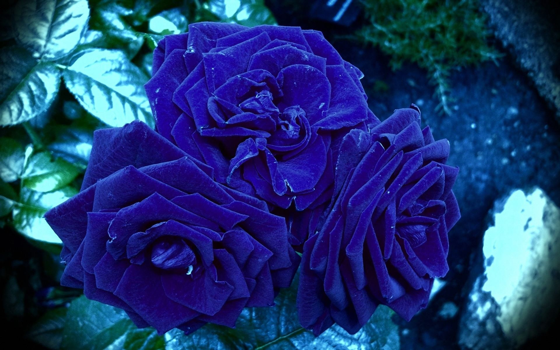 1920x1200 Blue Rose Wallpaper Free Download.