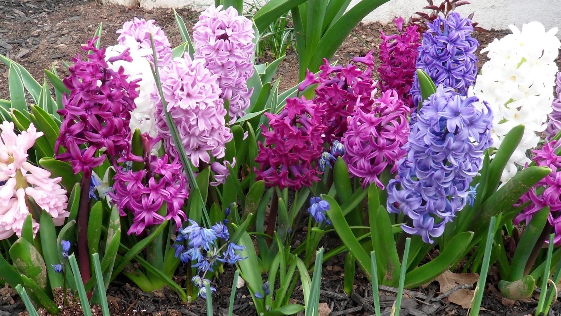 Hyacinth Wallpaper 57 Images