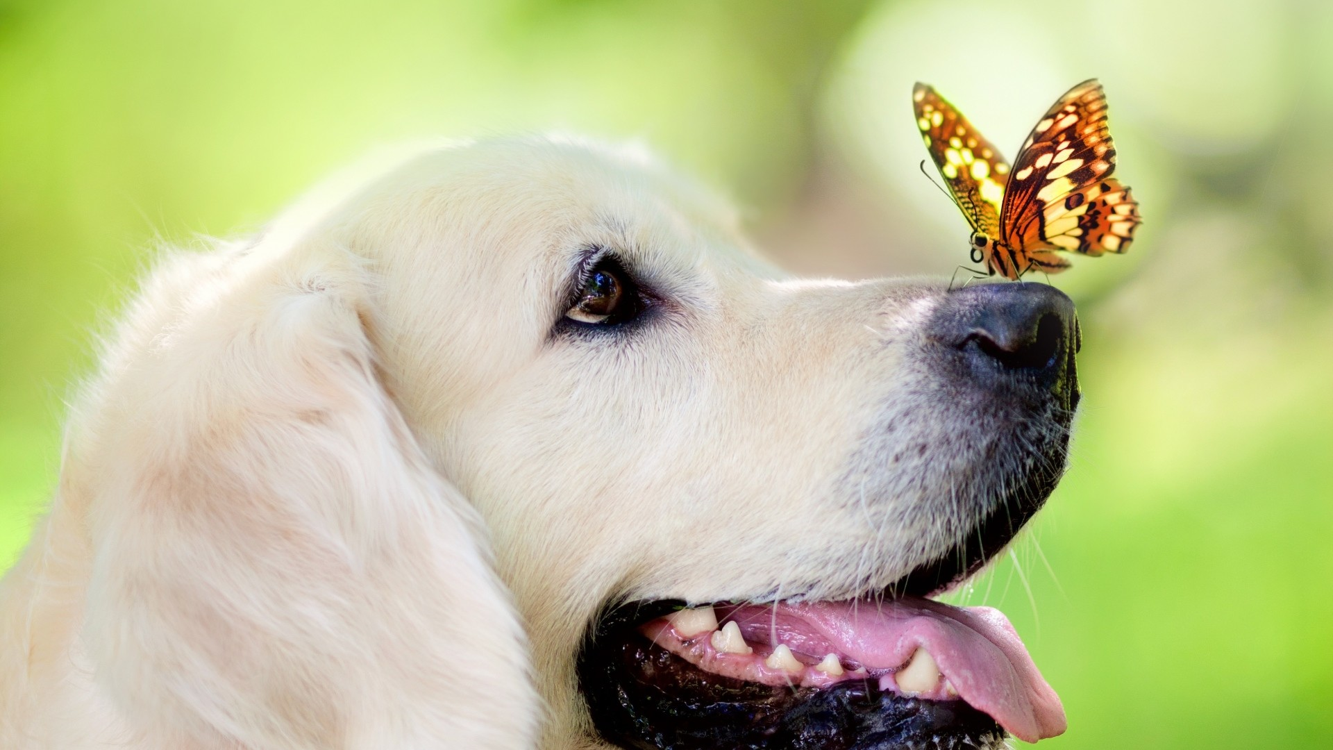 1920x1080 Preview wallpaper dog, muzzle, butterfly, tongue sticking out, spring,  summer