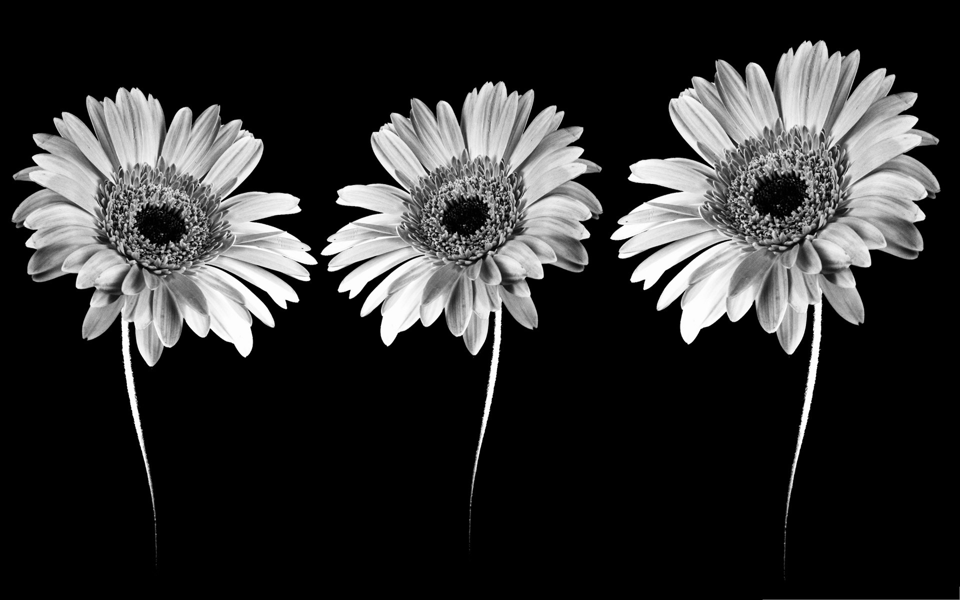 Black and white flower wallpaper 56 images 1920x1200 black white money flowers images wallpaper mightylinksfo