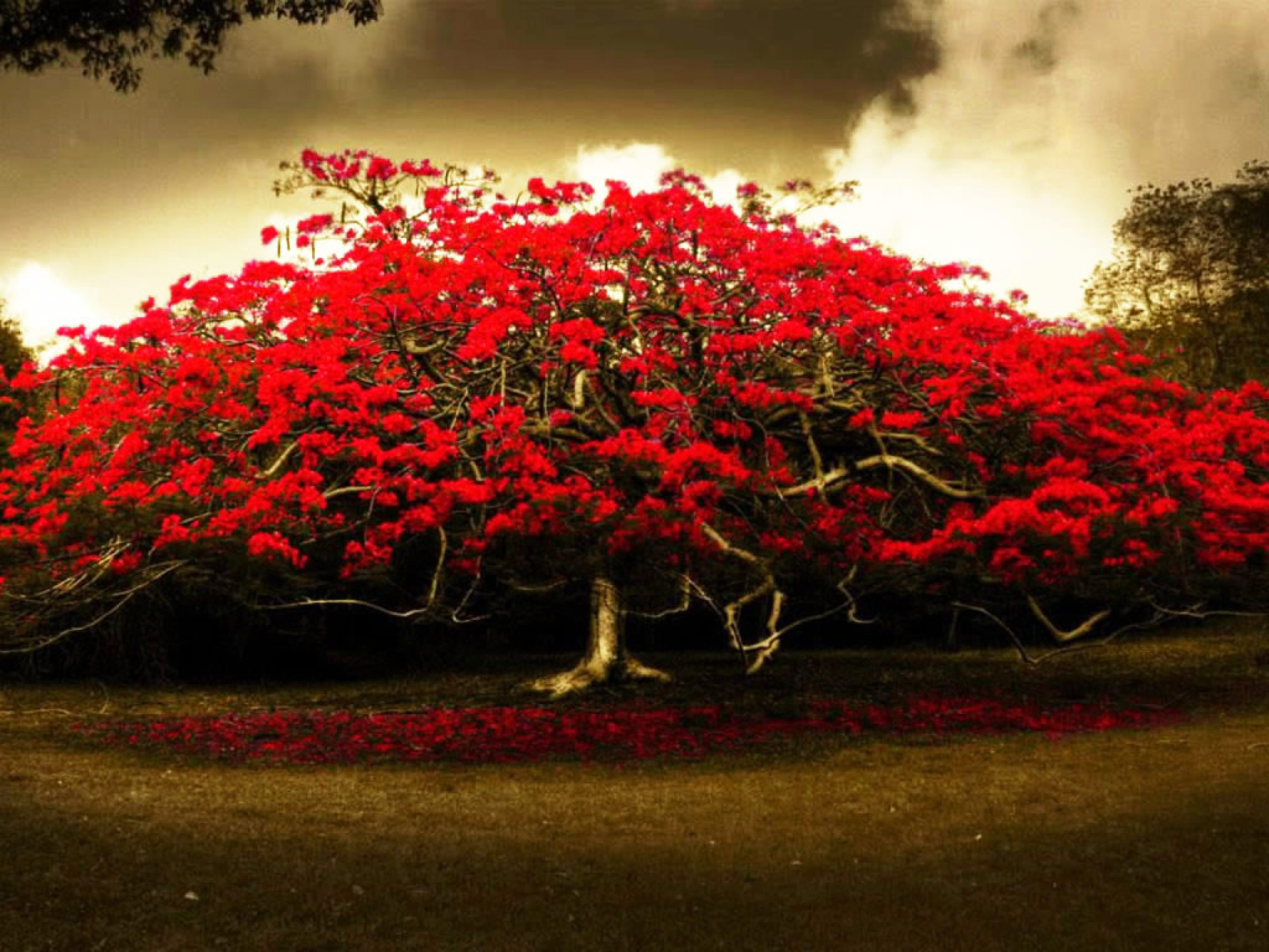 2560x1920 HD Widescreen Red Tree Wallpapers Widescreen - HD Wallpapers