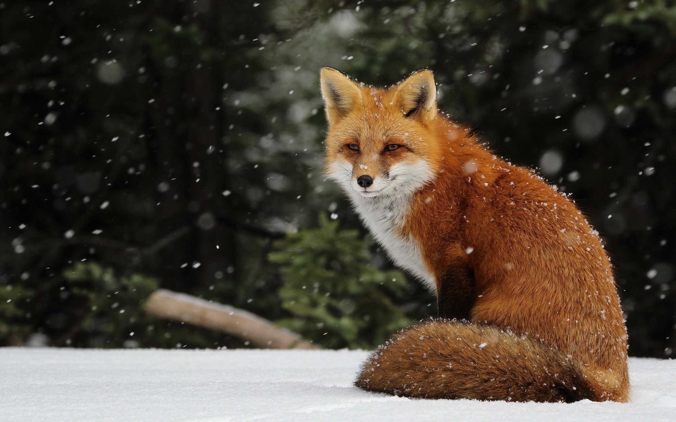 Animal winter desktop wallpaper 59 images - Fox desktop background ...