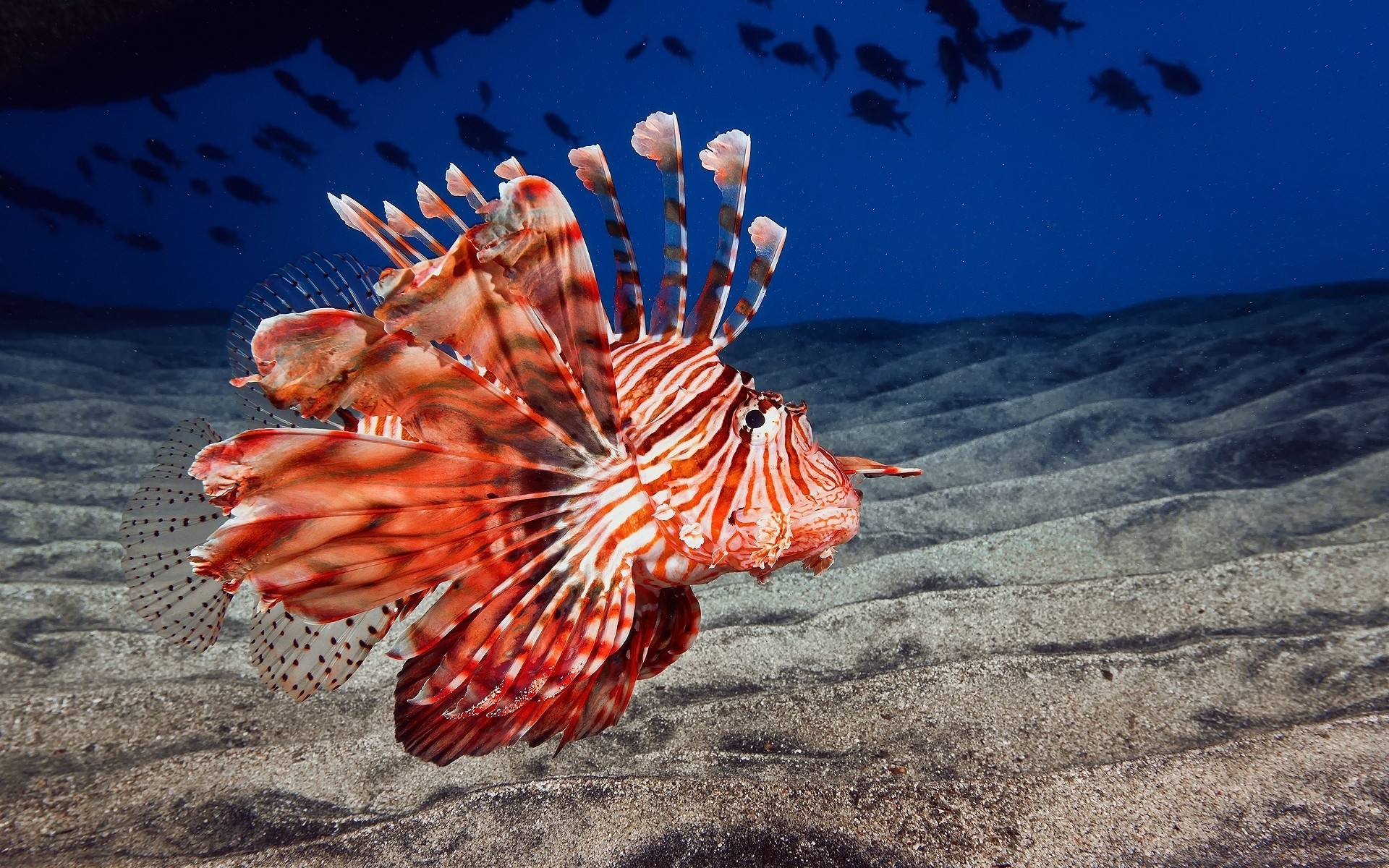 1920x1200 Lionfish animals fishes underwater sea ocean life sand color fins eyes  wallpaper |  | 26684