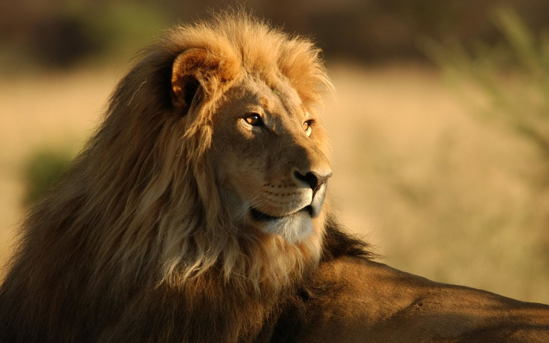 1920x1200 Leo The Lion HD Wallpapers - HD Wallpapers Inn
