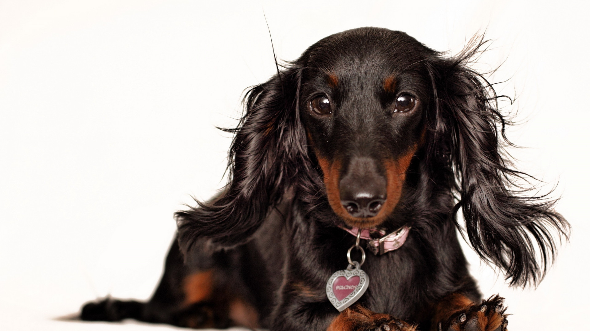 1920x1080 Preview wallpaper dachshund, muzzle, ears, fluffy, collar