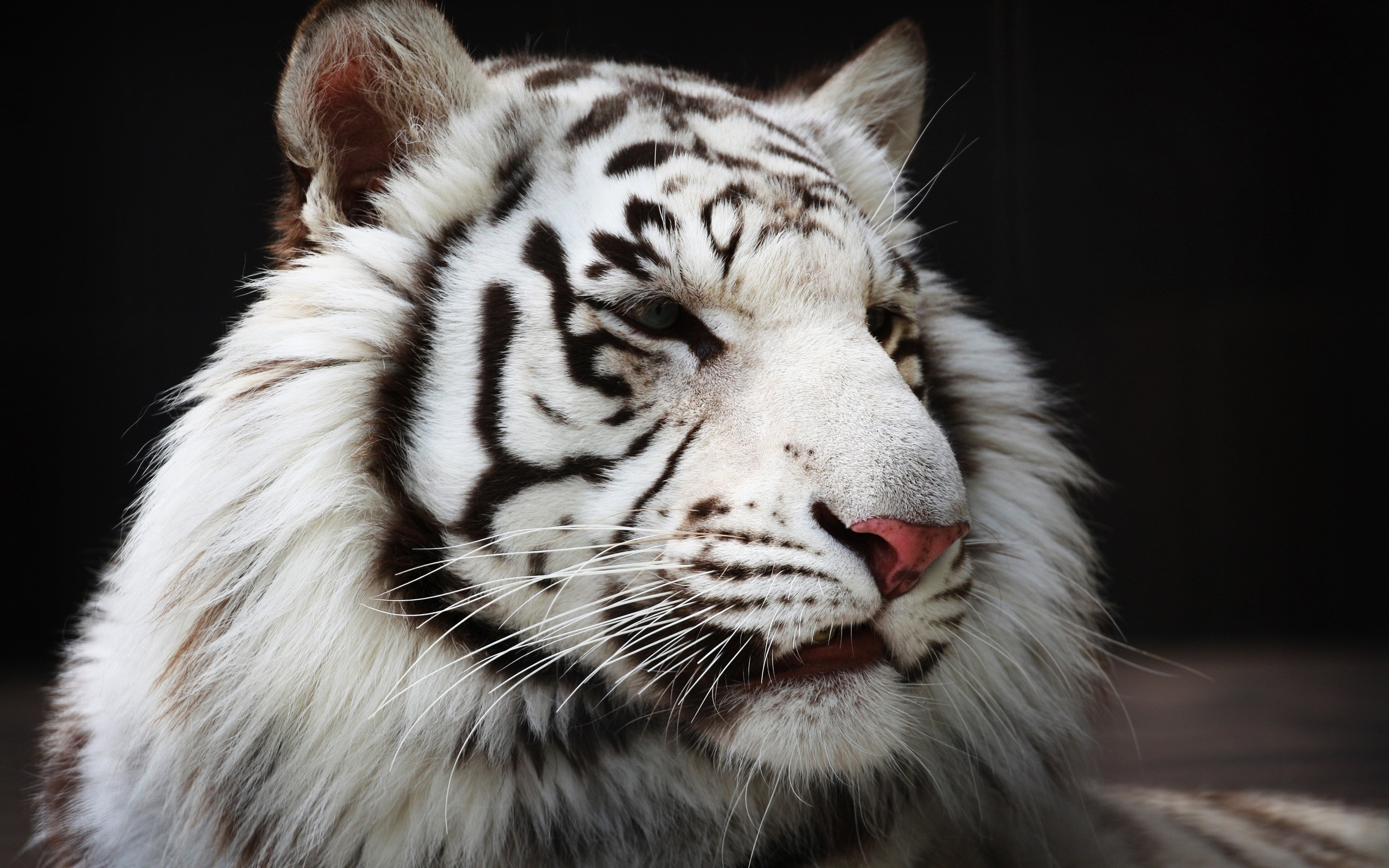 White Tiger Cub Wallpaper 57 Images