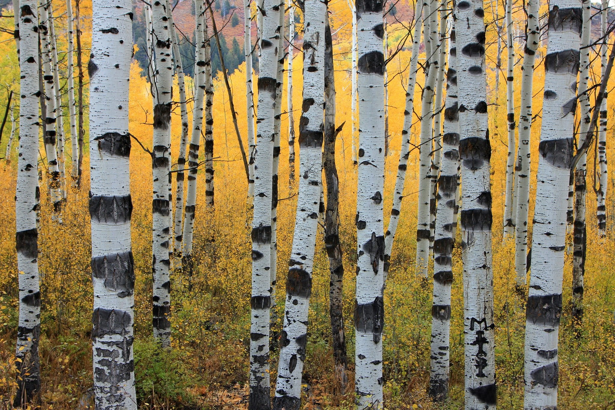 2048x1365 wallpaper.wiki-Autumn-aspen-trunks-trees-forest-PIC-