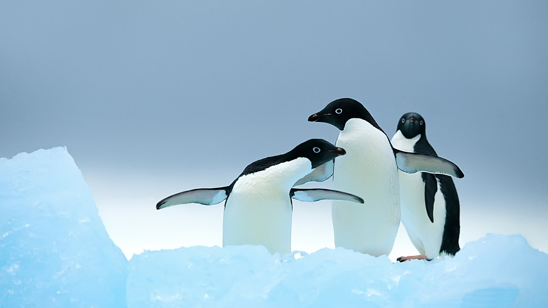 1920x1080 Cute penguins desktop wallpaper - photo#23