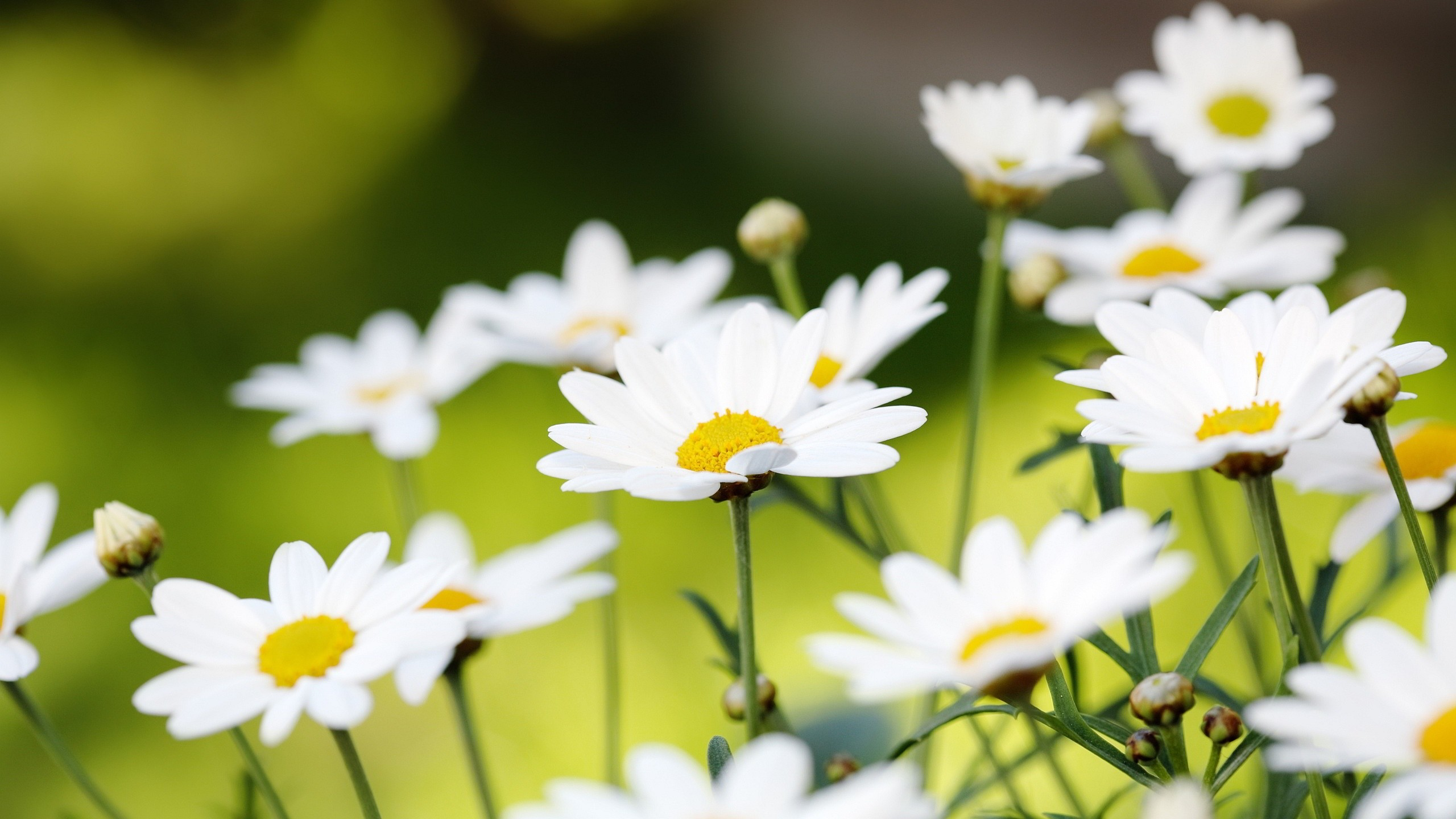 Daisy Flower Wallpaper (57+ images)