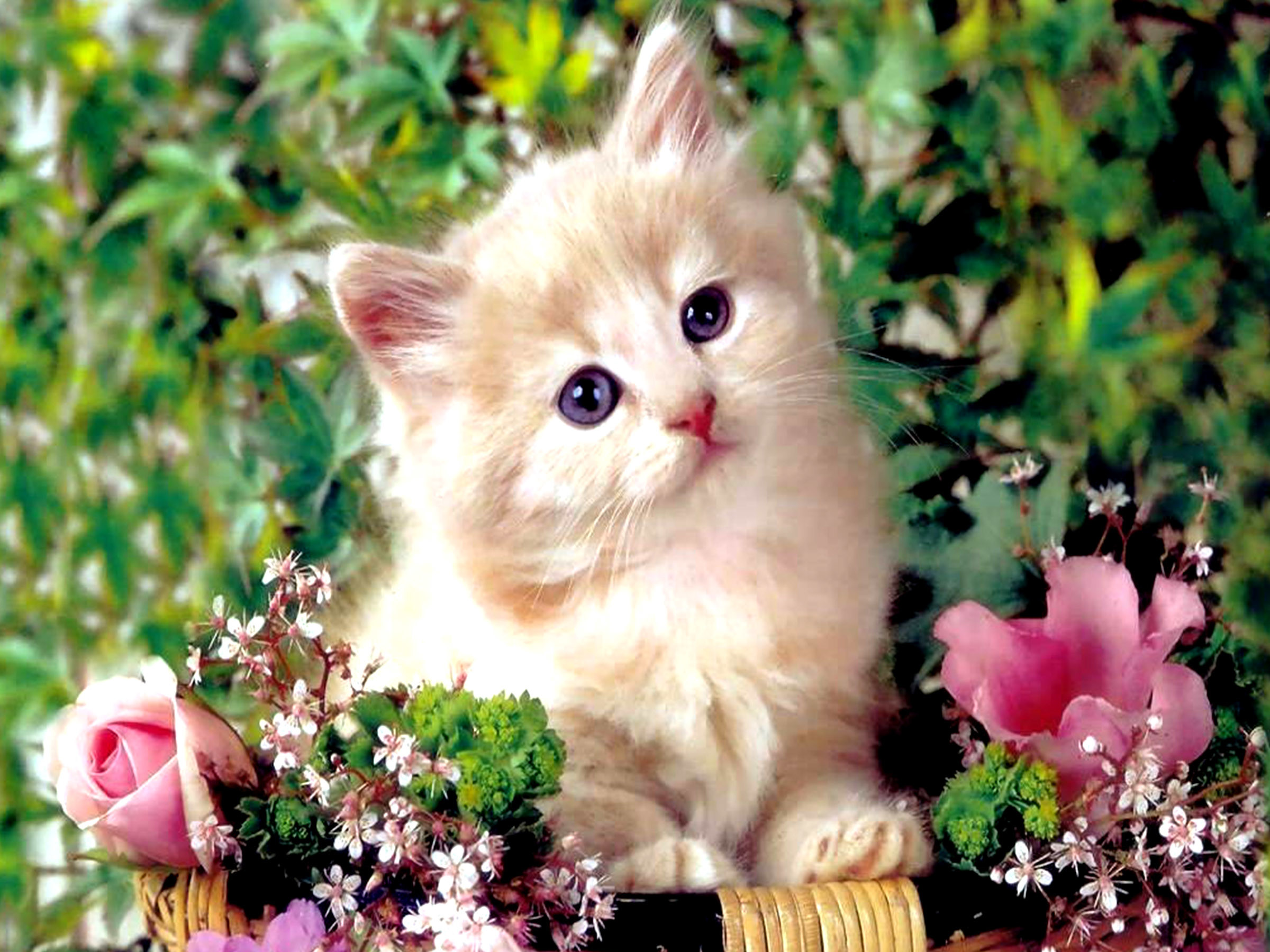 2400x1800 Persian Cat HD Wallpapers Backgrounds Wallpaper. Cute KittensCats And ...