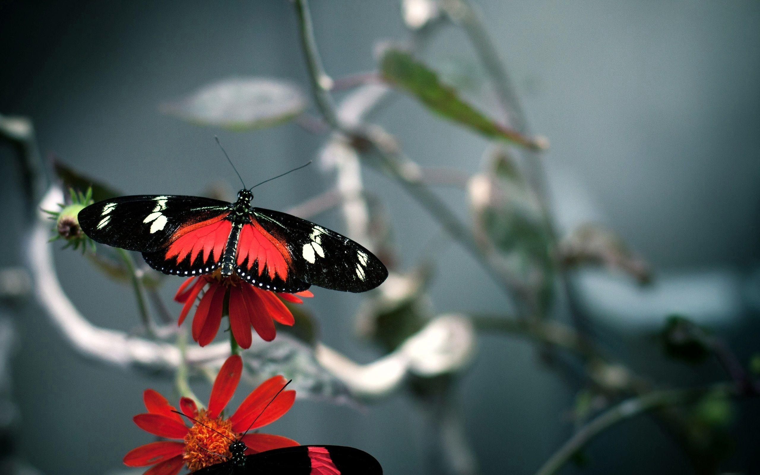 2560x1600 Butterfly Wallpaper HD
