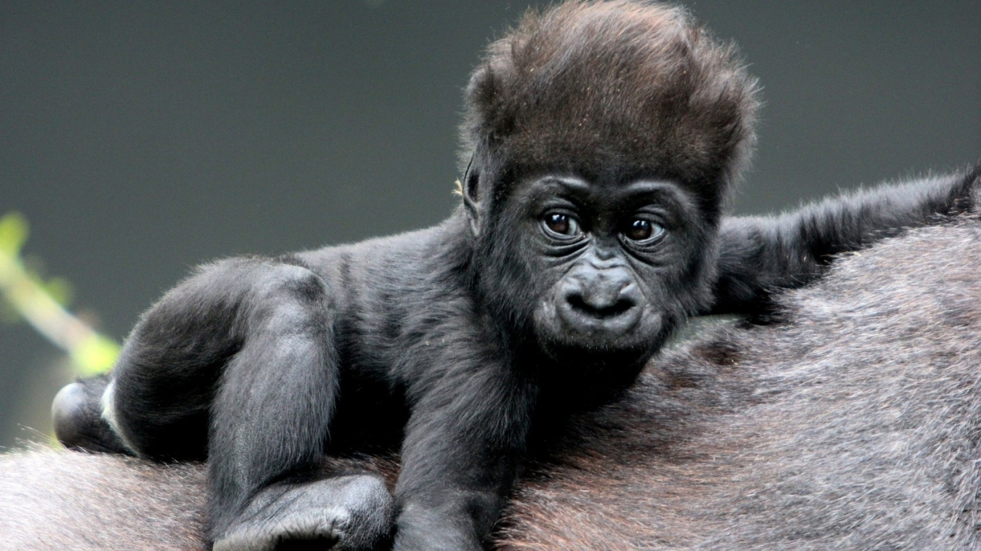 1920x1080 Preview wallpaper monkey, baby, gorilla, hair