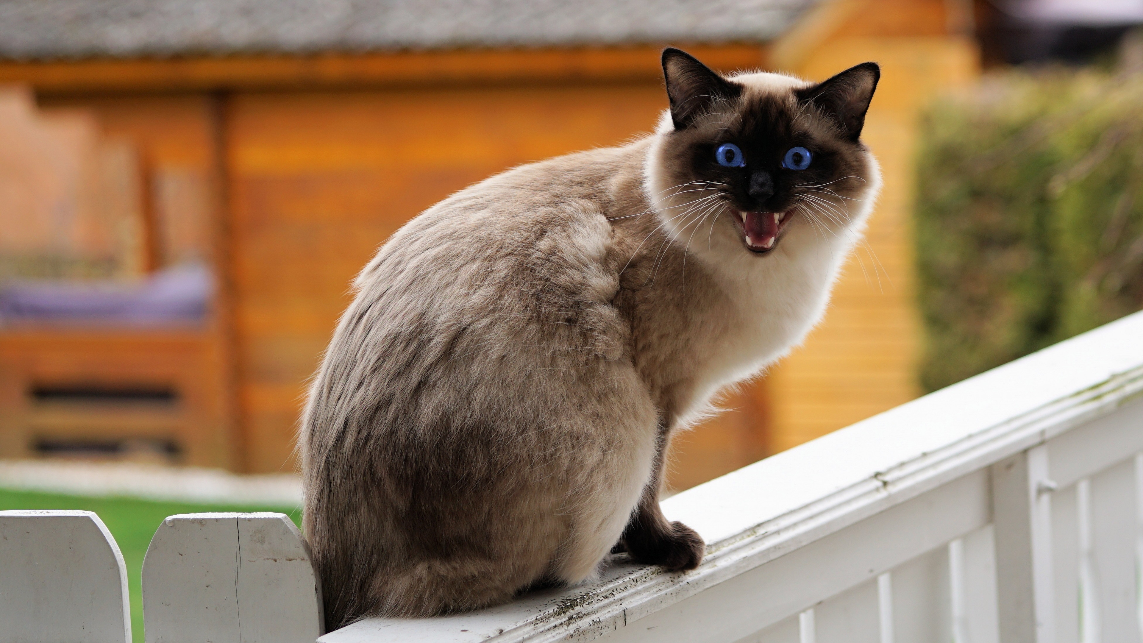 3840x2160  wallpaper Siamese cat, angry pet animal, sitting