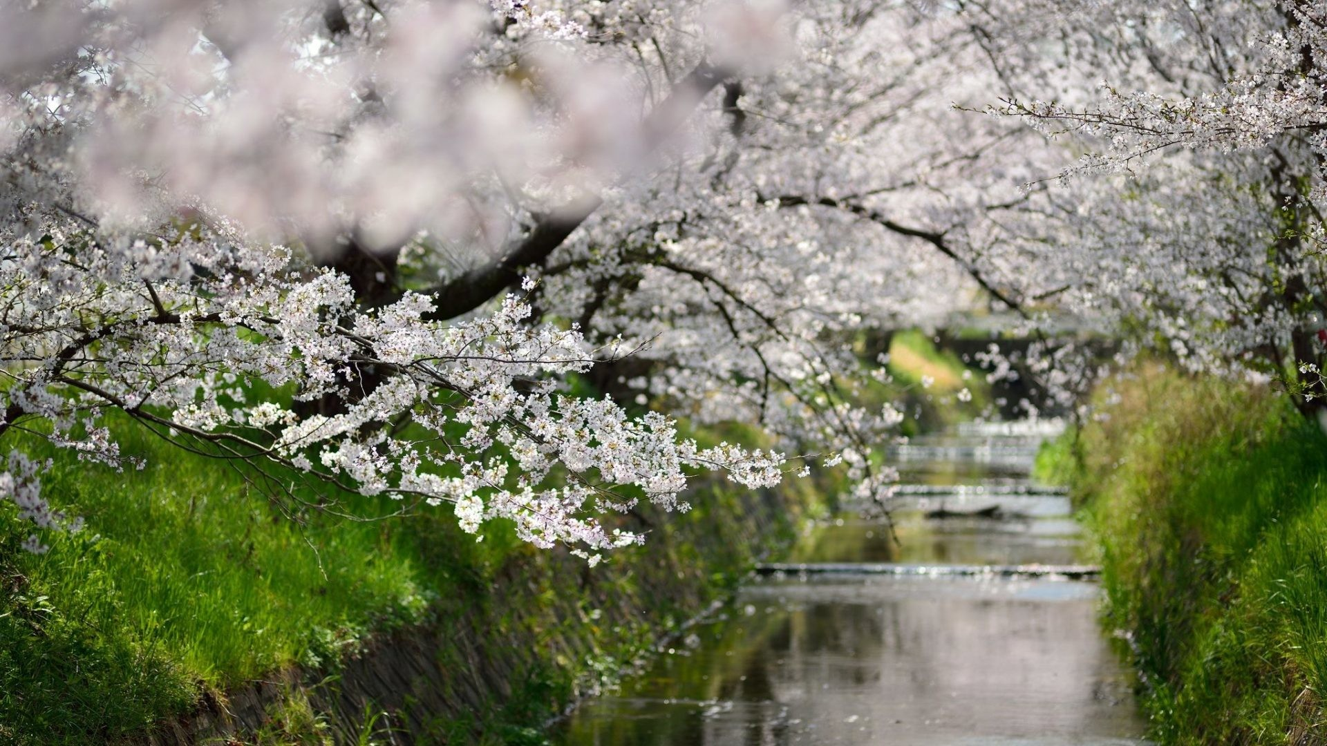 1920x1080 Osaka Tag - Blossoms Leaves Sakura Walks Green Season Nature Places Trees  Cherry Osaka Beauty Flowers