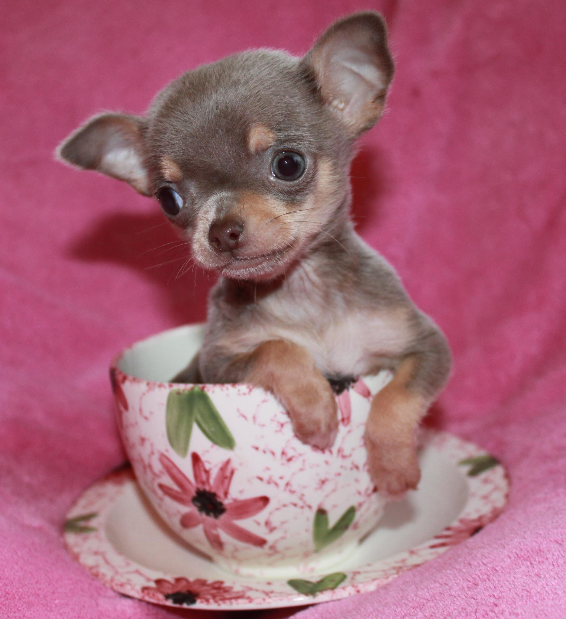chihuahua dog breeder teacup chihuahua wallpaper 52 images 8838