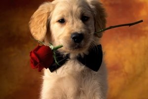 Valentines Day Dog Wallpaper 2560x2048 for htc